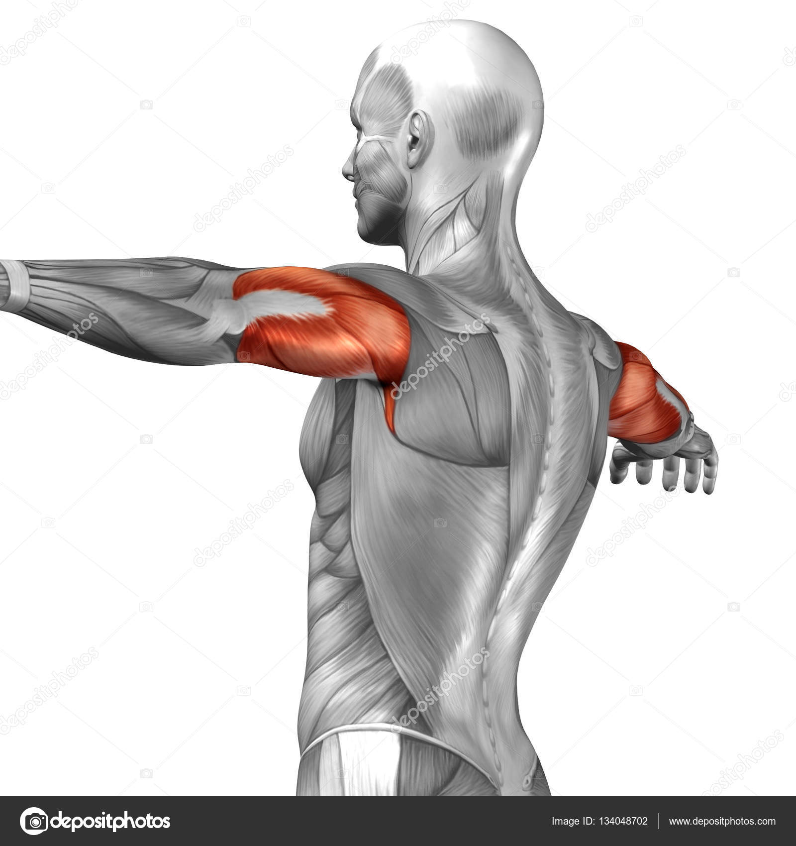 Back Muscles Structure Of Man Stock Photo Design36 134048702