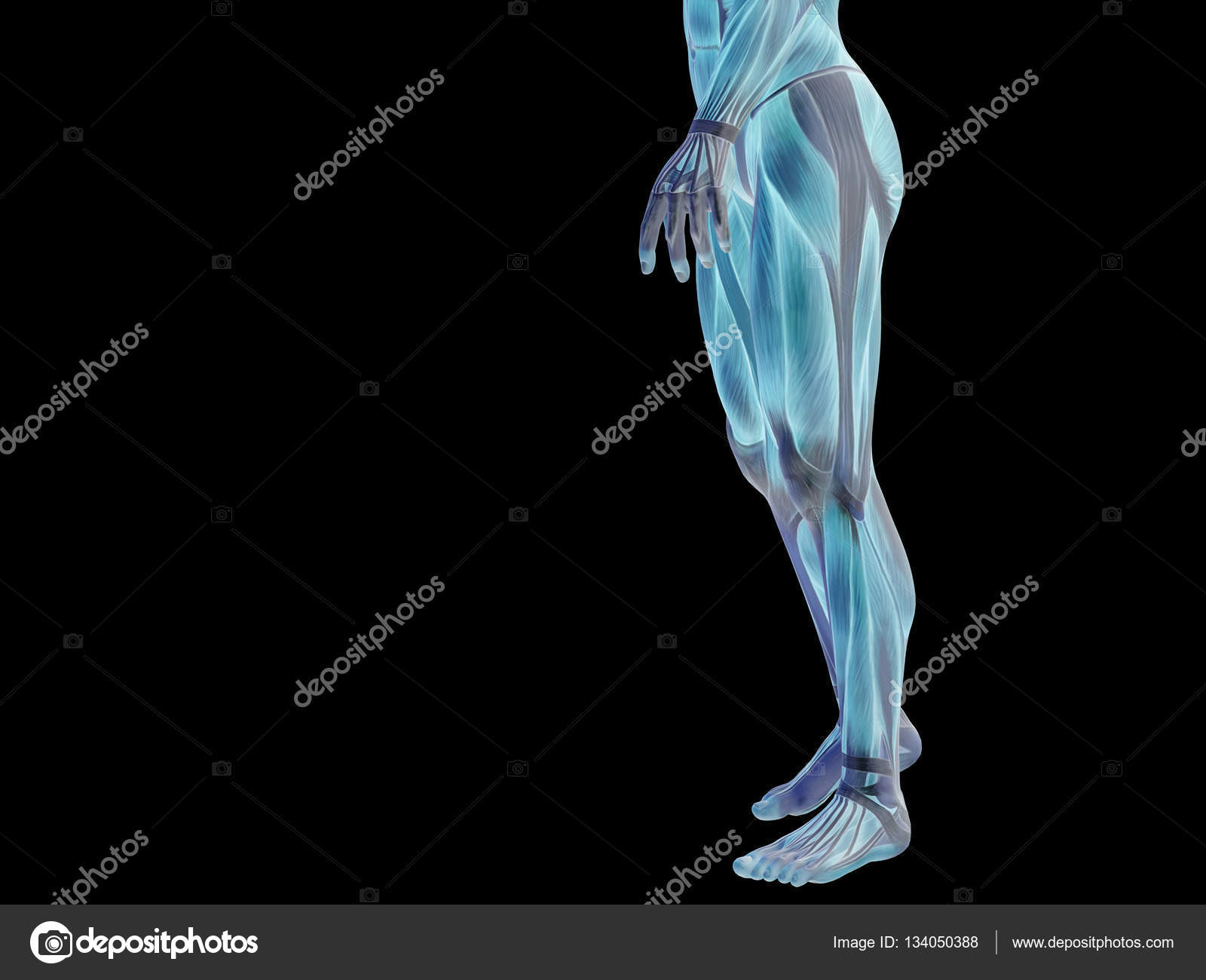 Man Anatomy Lower Body Stock Photo Design36 134050388