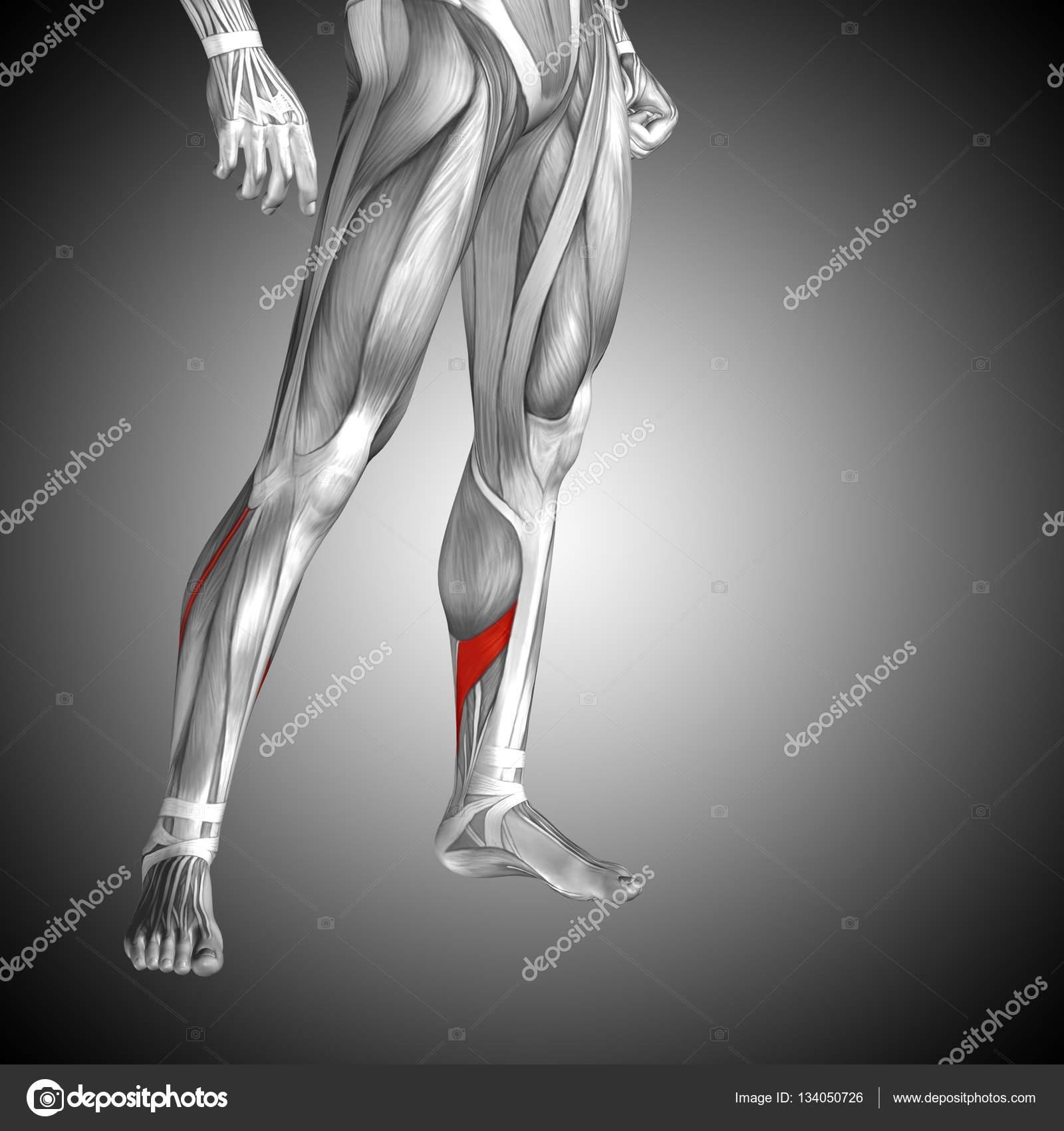 untere Bein Anatomie — Stockfoto © design36 #134050726