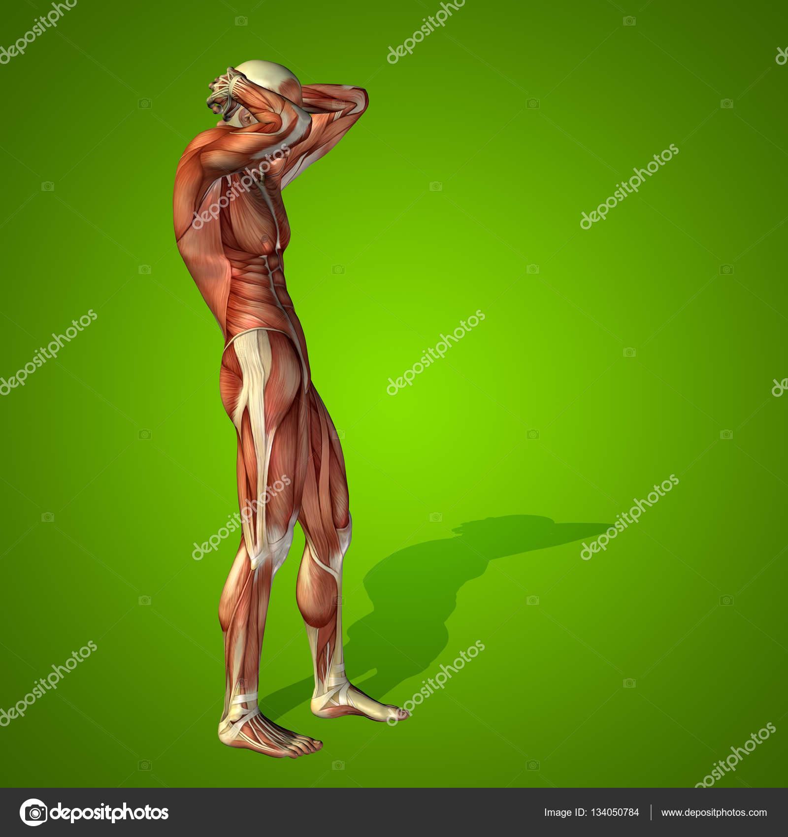 menschliche Anatomie Körper mit Muskeln — Stockfoto © design36 ...