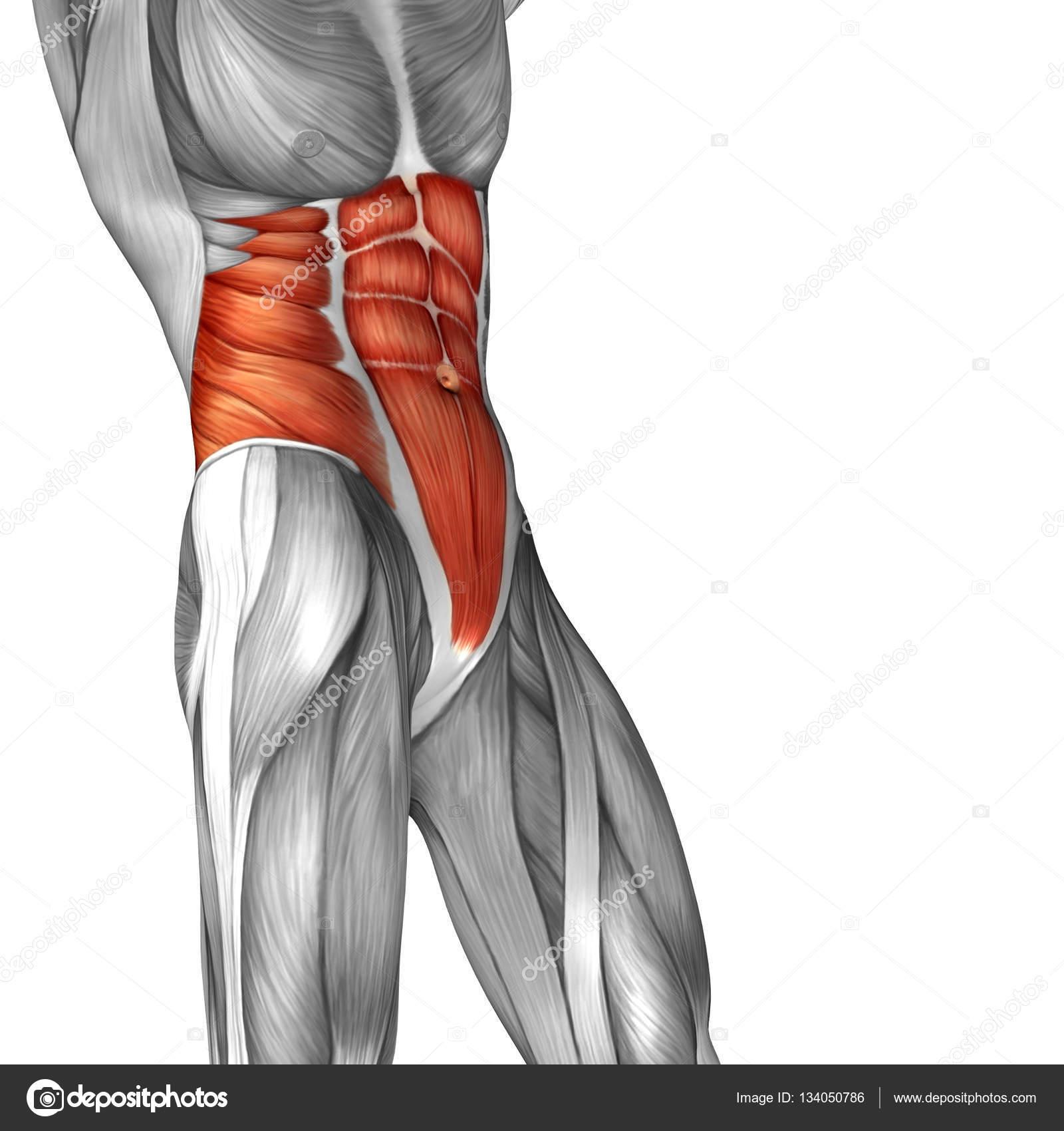 Músculos del abdomen humano — Fotos de Stock © design36 #134050786