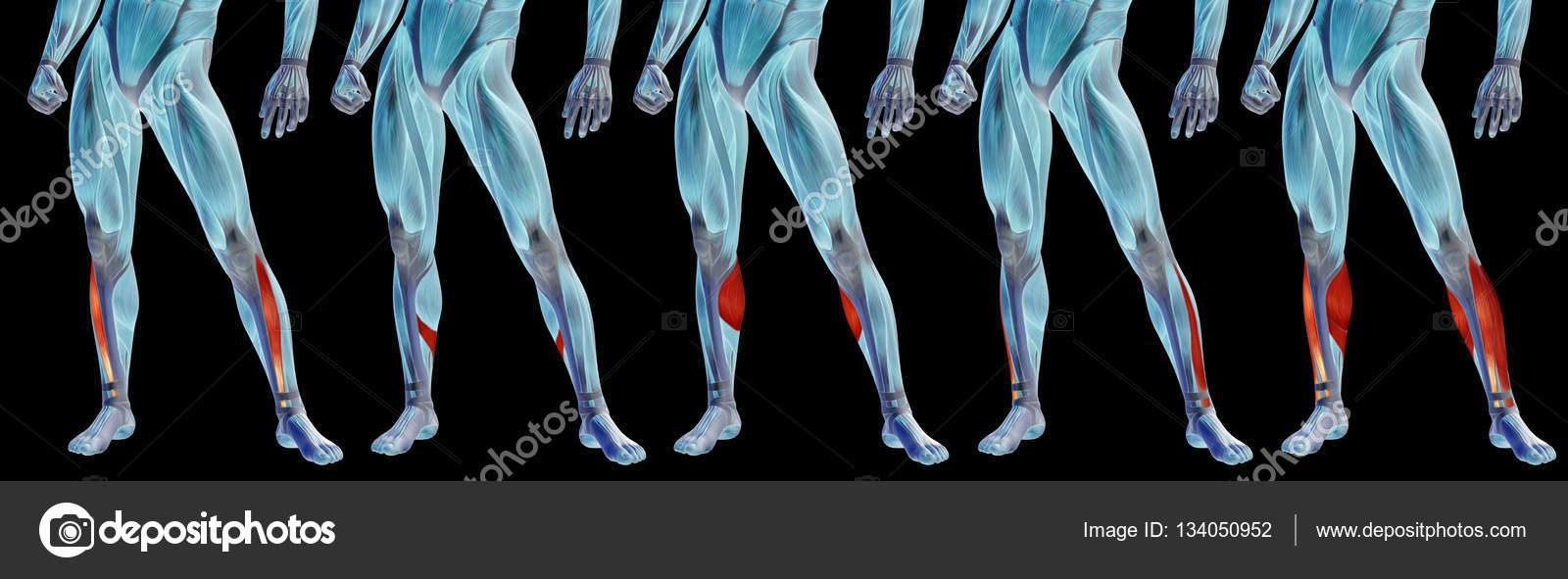 Anatomía de la pierna inferior — Foto de stock © design36 #134050952