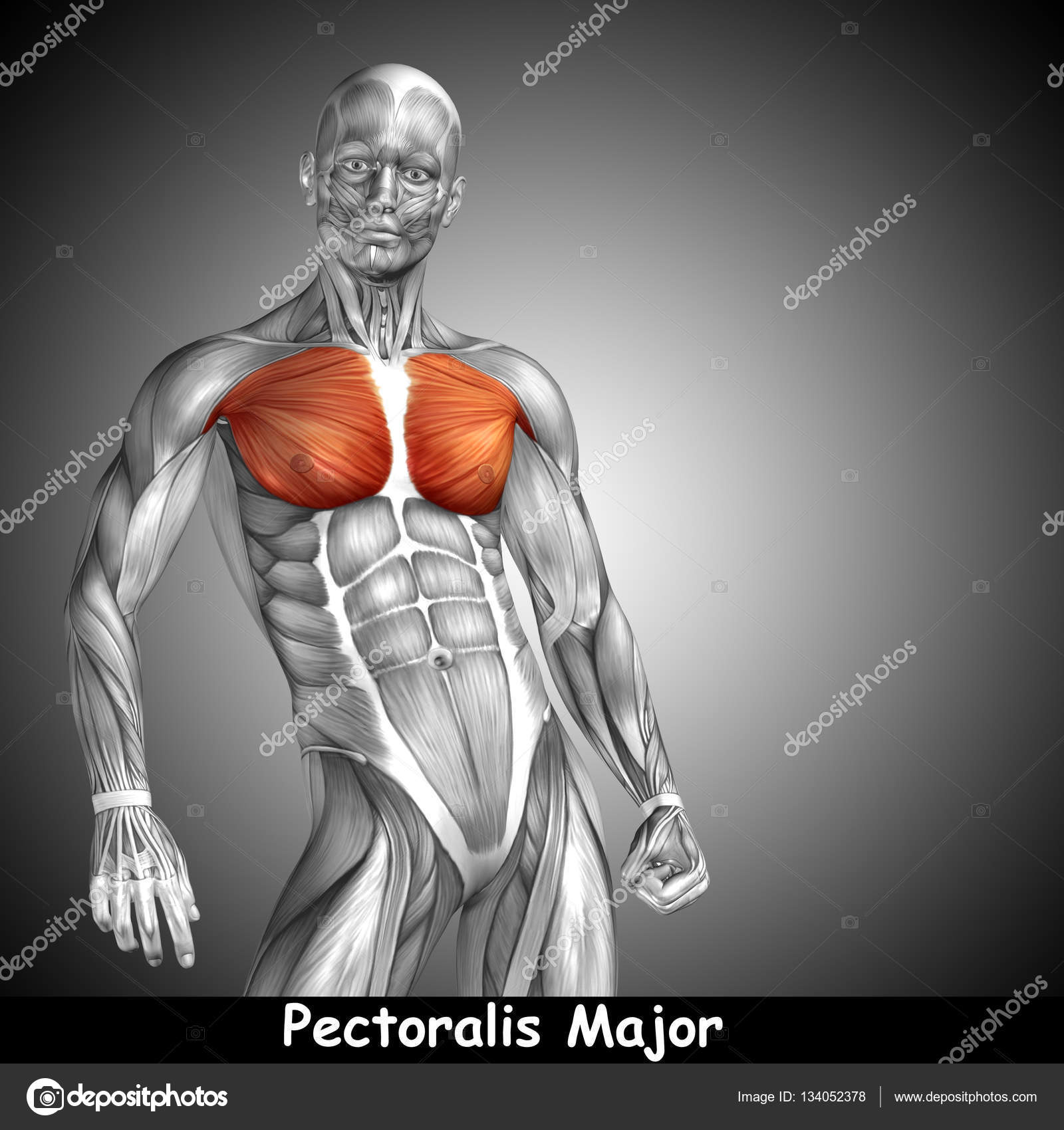 Human Chest And Muscles Stock Photo Design36 134052378