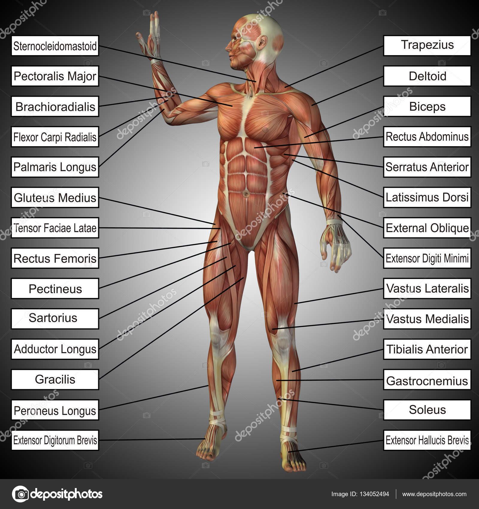 anatomía humana con cuadro de texto — Fotos de Stock © design36 ...