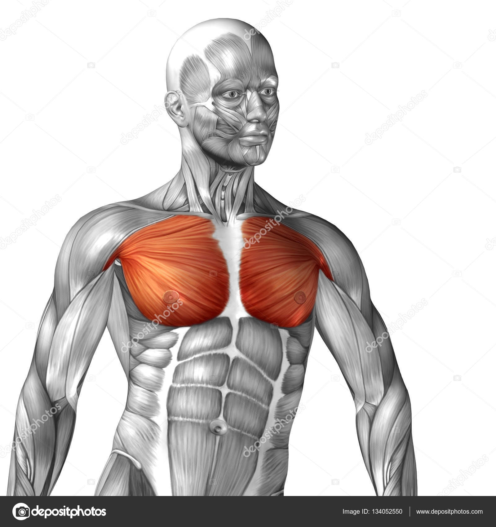 Human Chest Muscles Stock Photo Design36 134052550