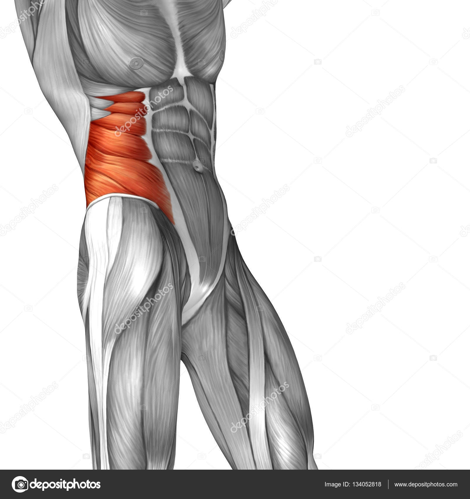 Human Obliques Muscles Stock Photo Design36 134052818