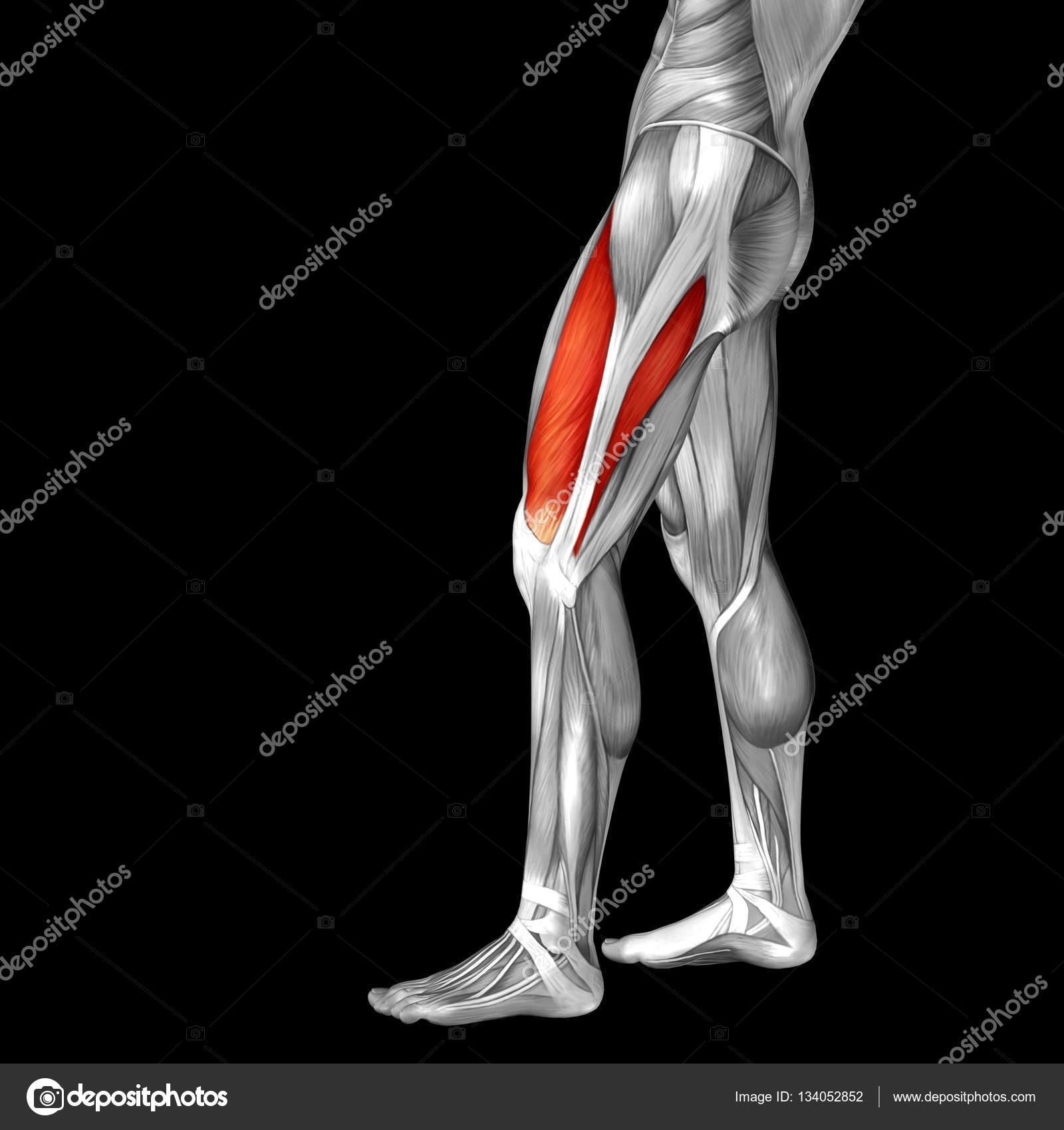 Oberschenkel-Anatomie — Stockfoto © design36 #134052852