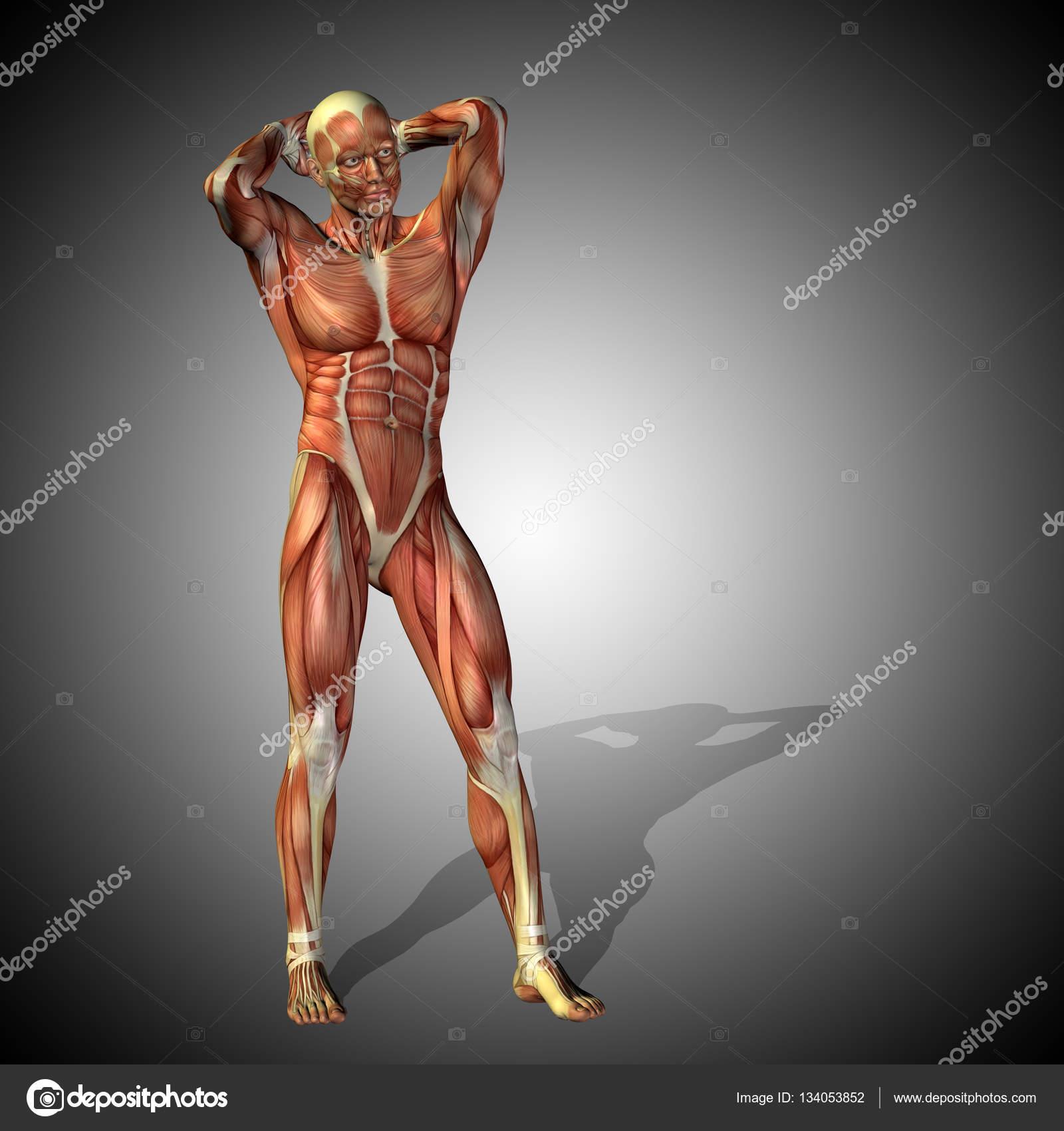Anatomía cuerpo con músculos de humanos fuerte — Fotos de Stock ...