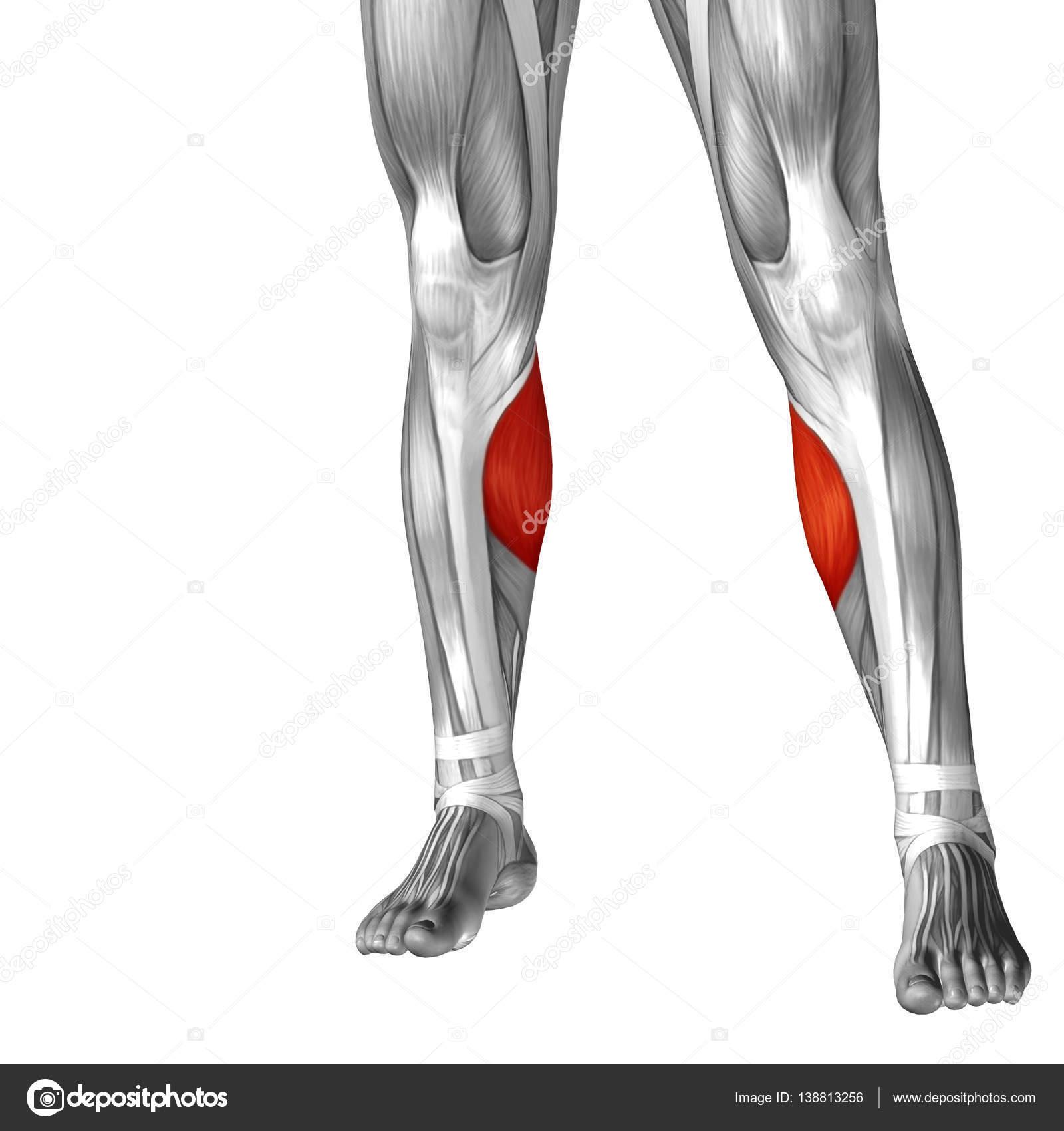 Human Lower Leg Anatomy Stock Photo Design36 138813256