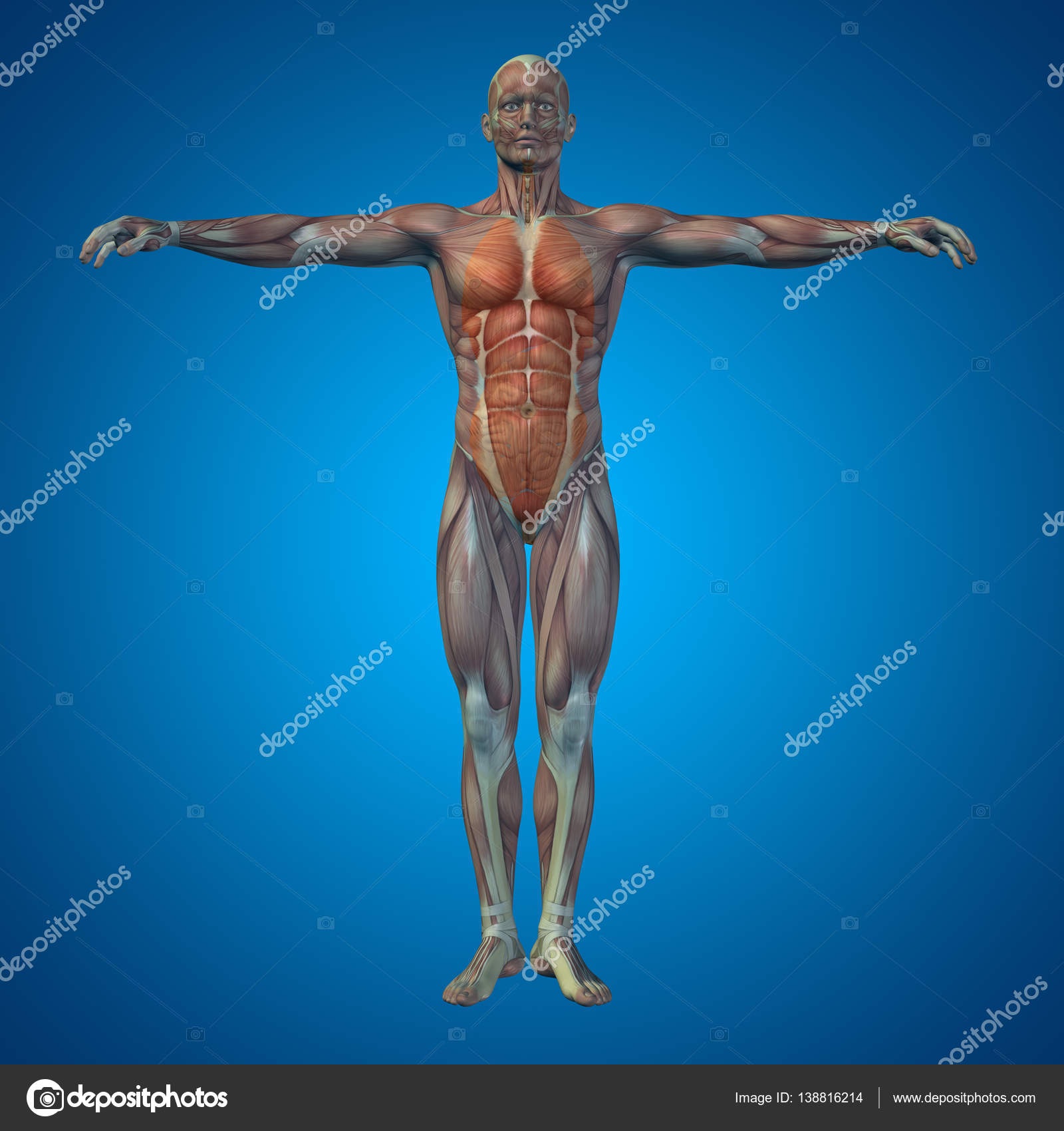 Human Structure With Internal Organs Stock Photo