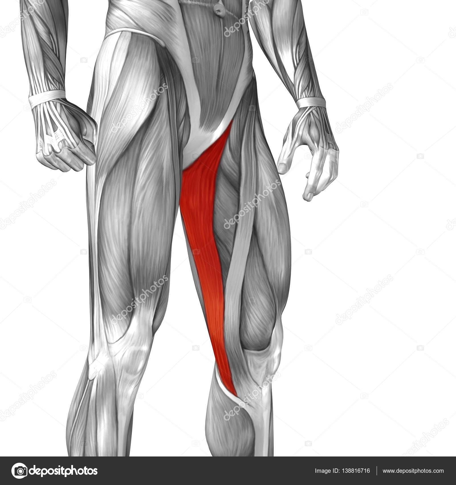 menschliche Oberschenkel-Anatomie — Stockfoto © design36 #138816716