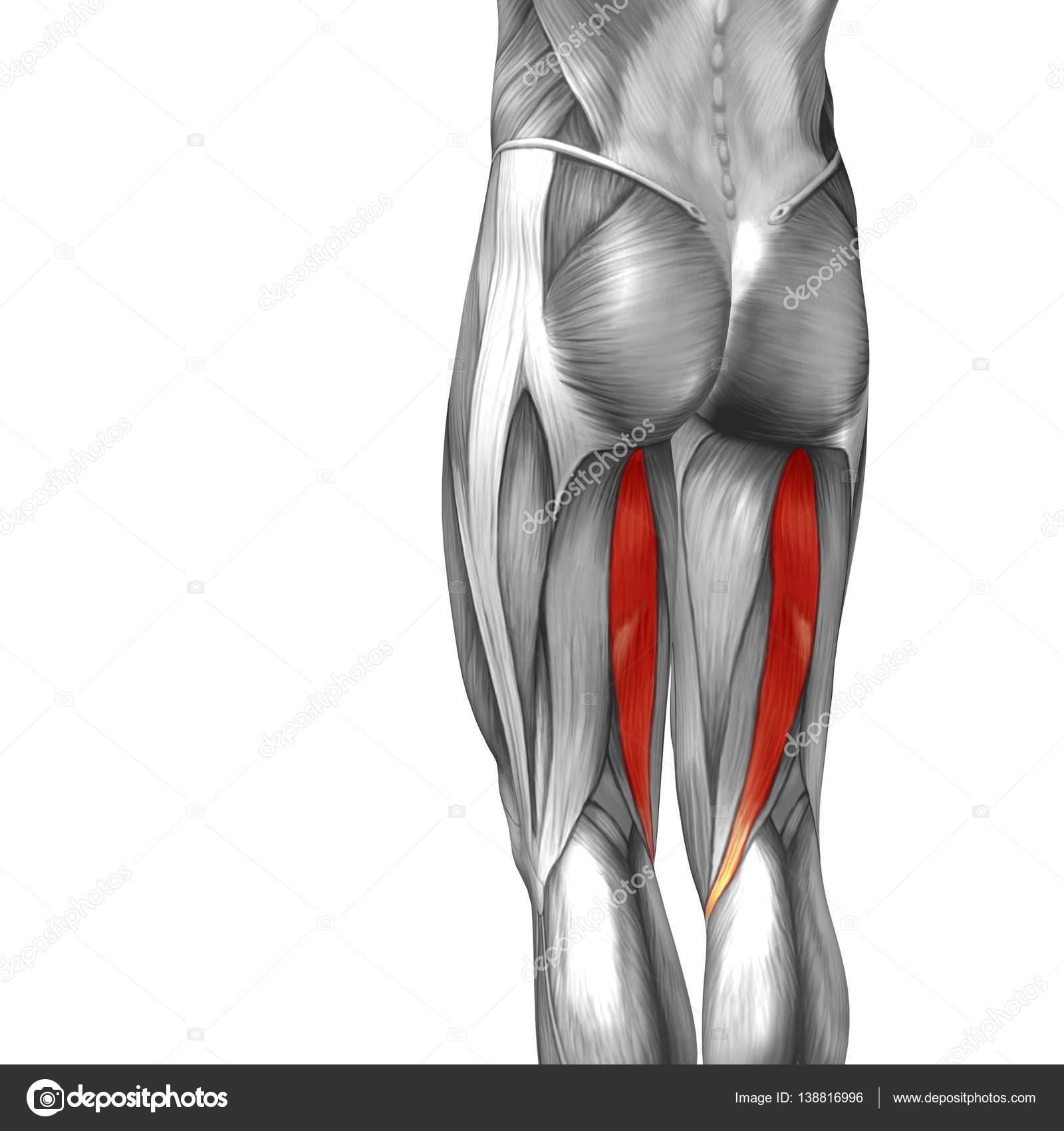 human upper leg anatomy — Stock Photo © design36 #138816996