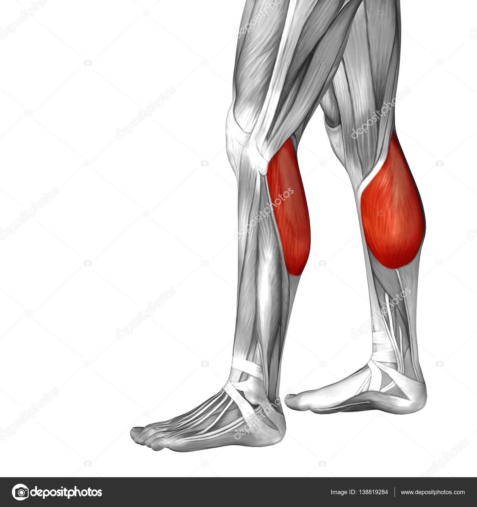 Anatomía de la pierna inferior — Foto de stock © design36 #138819284