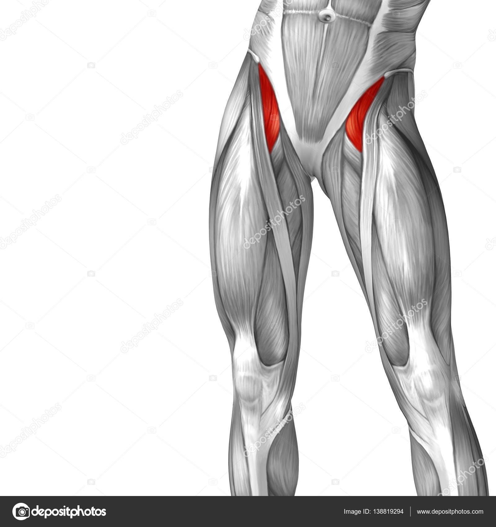 menschliche Oberschenkel-Anatomie — Stockfoto © design36 #138819294