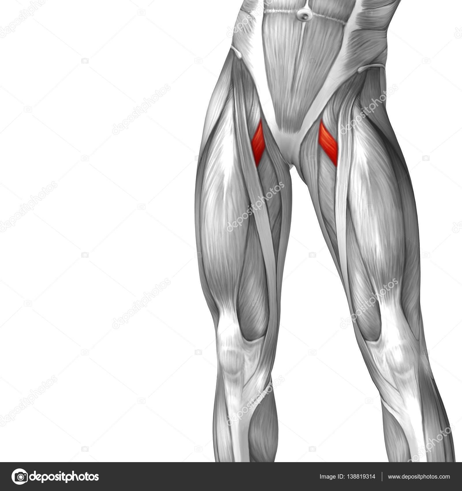 human upper leg anatomy — Stock Photo © design36 #138819314