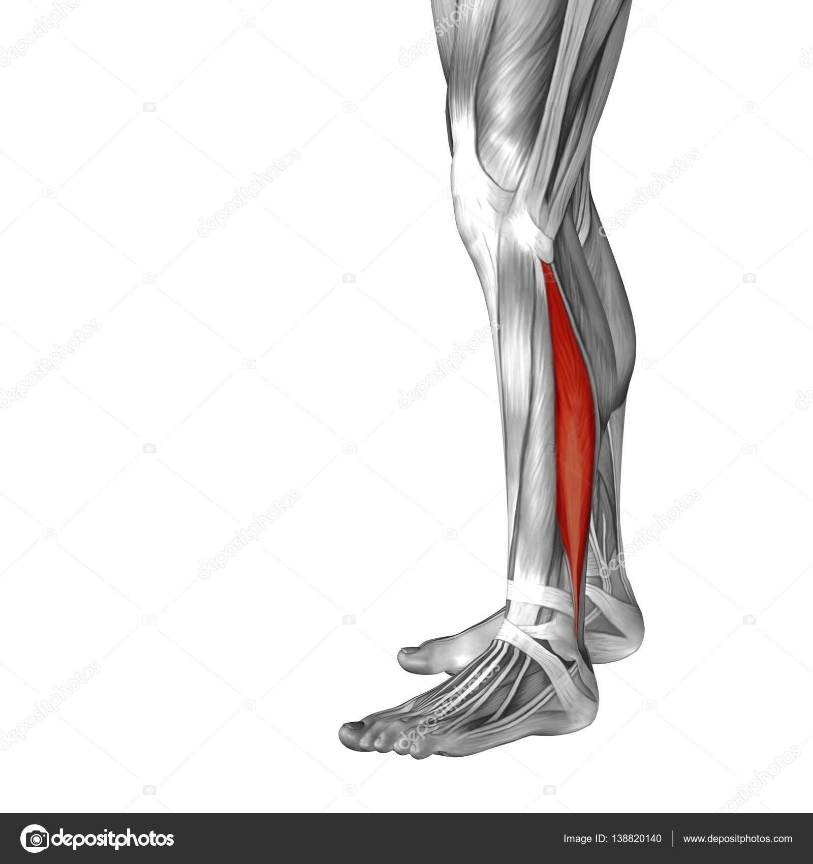 Anatomía de la pierna inferior — Foto de stock © design36 #138820140
