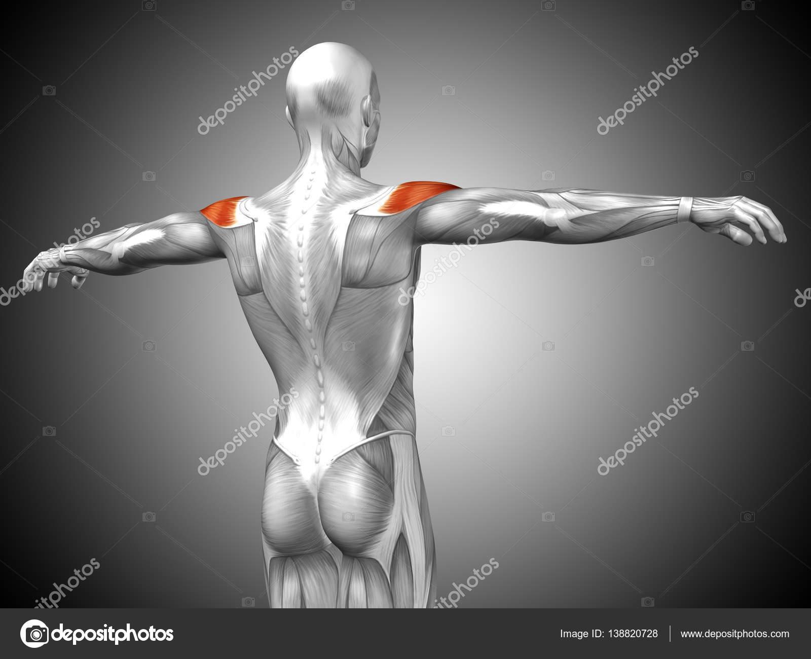 Asombroso Fotos De La Anatomía Stock Elaboración - Imágenes de ...