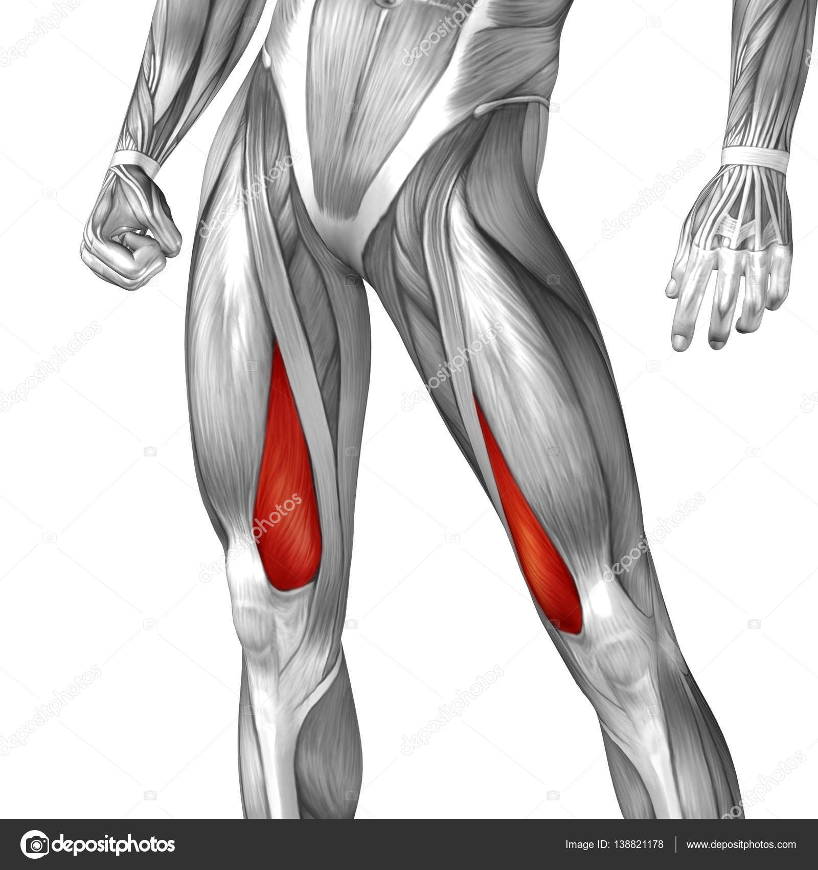 human upper leg anatomy — Stock Photo © design36 #138821178