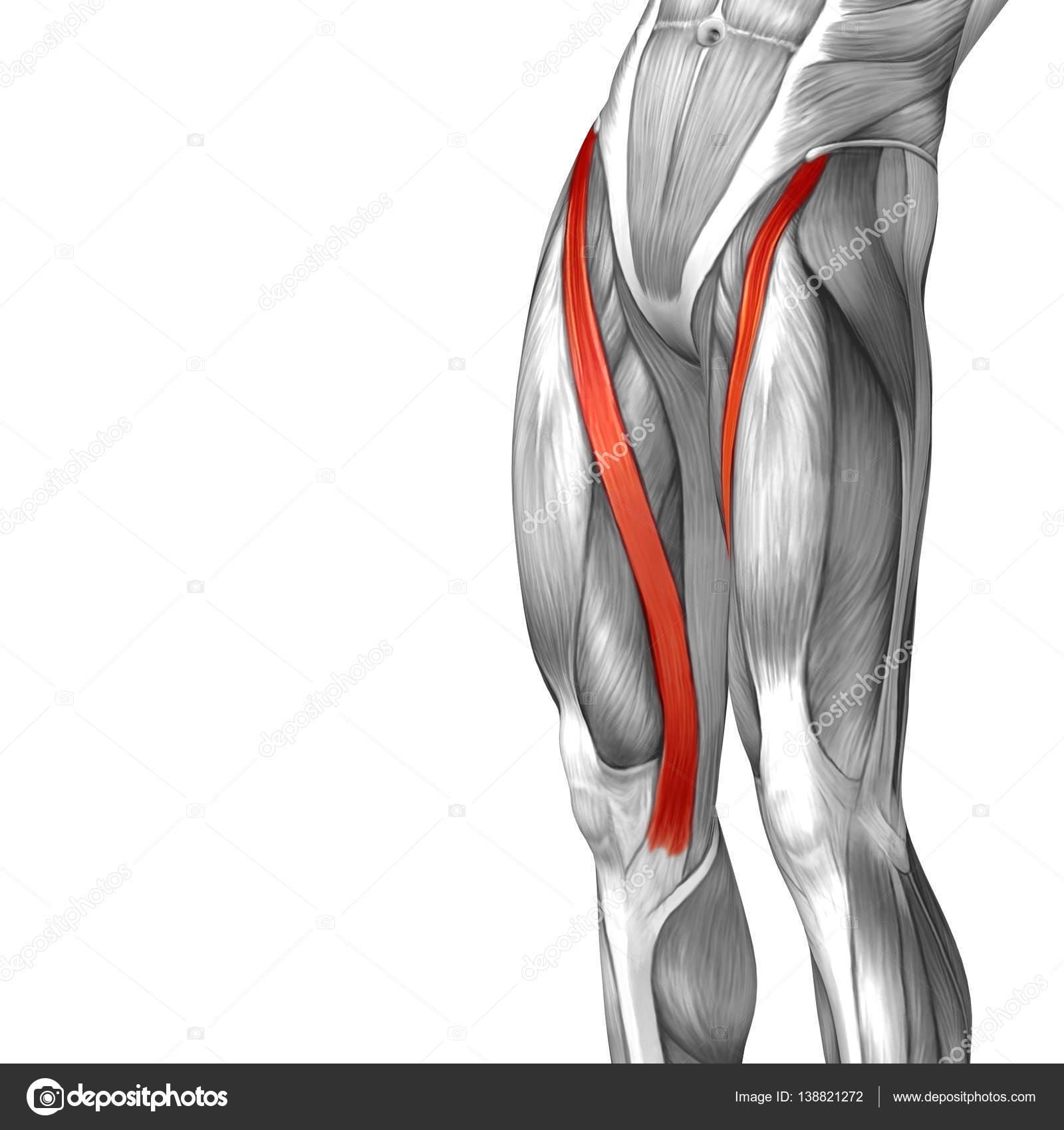 menschliche Oberschenkel-Anatomie — Stockfoto © design36 #138821272