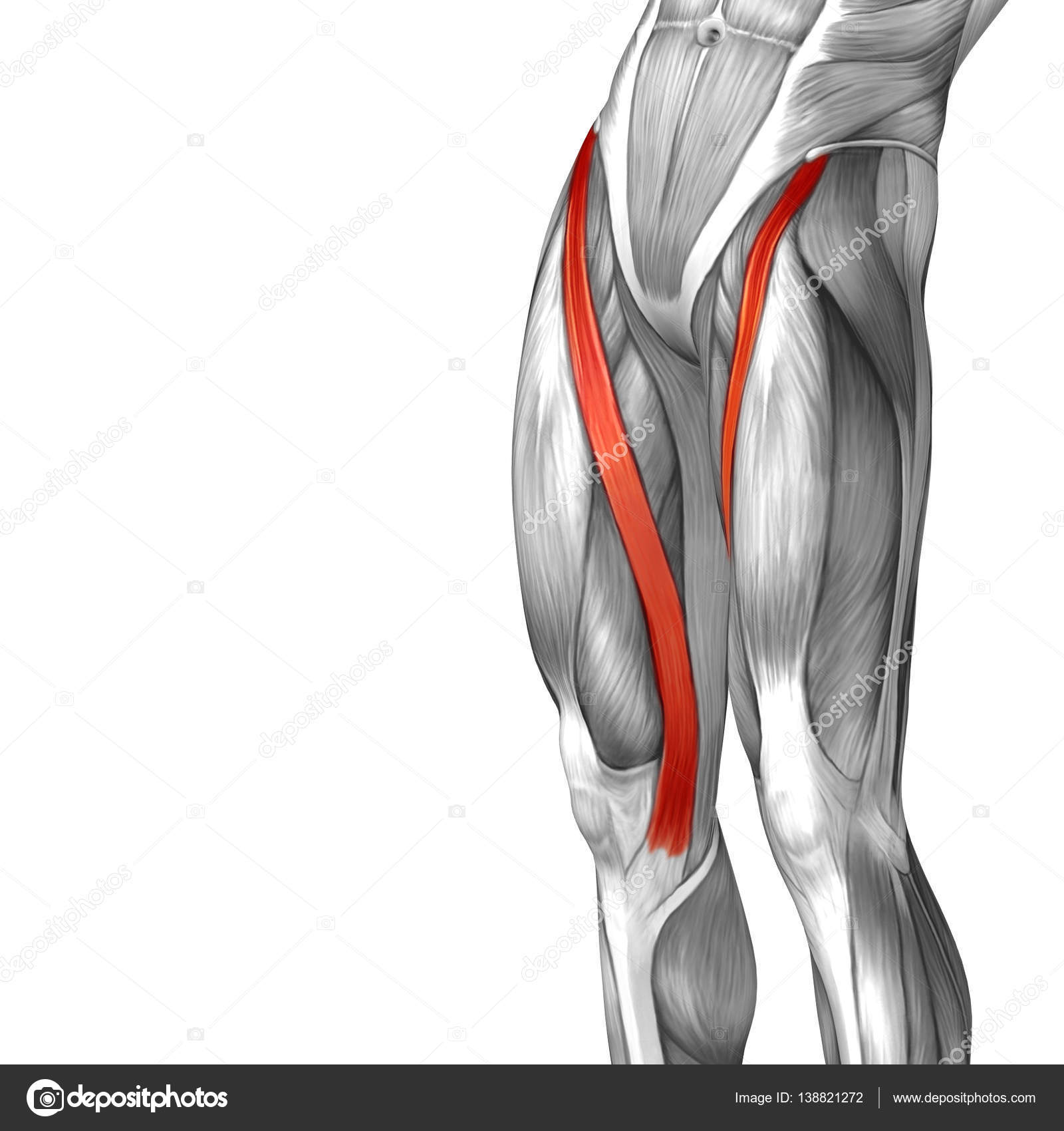 human upper leg anatomy — Stock Photo © design36 #138821272