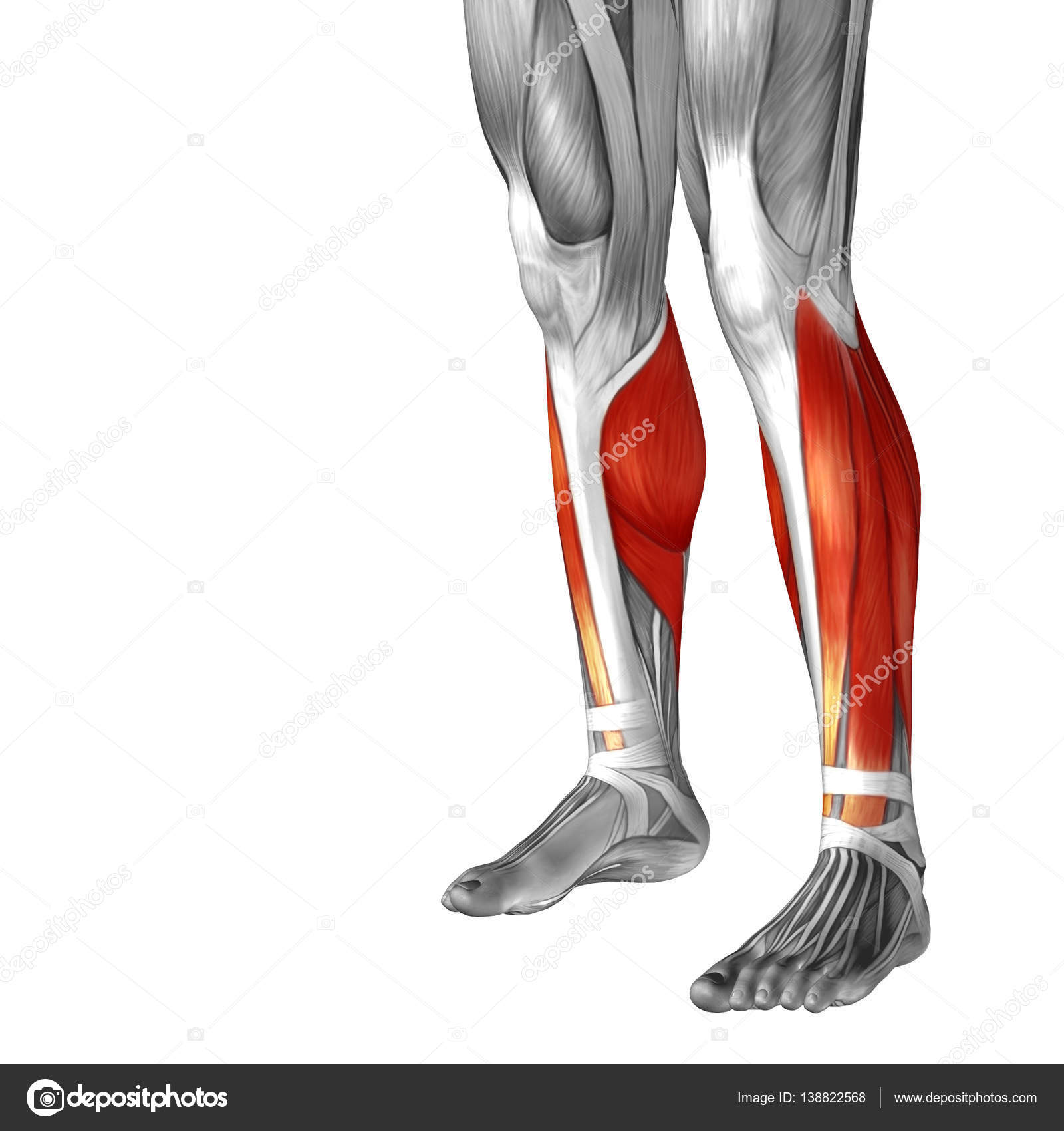 untere Bein Anatomie — Stockfoto © design36 #138822568