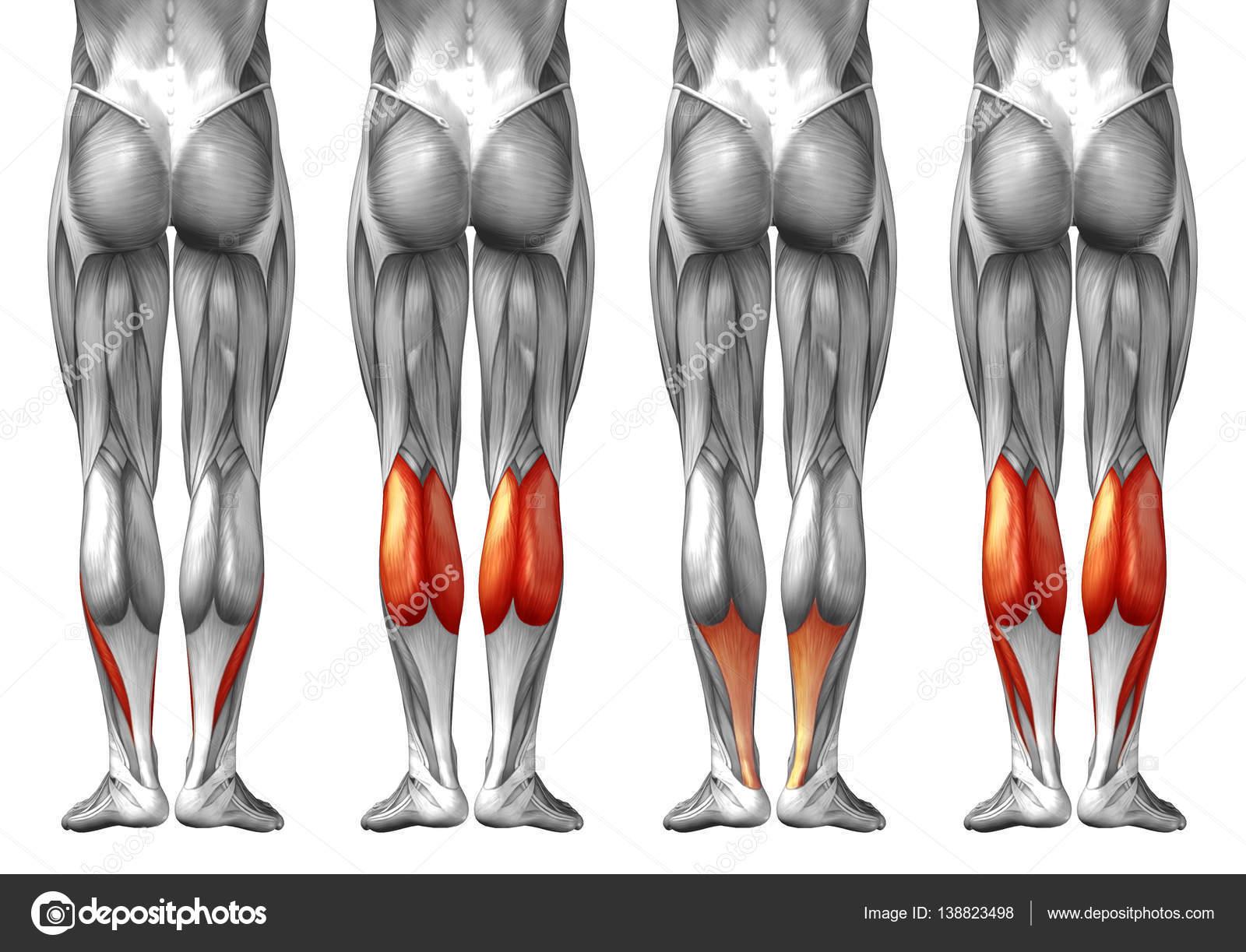 Human Lower Leg Anatomy Stock Photo Design36 138823498