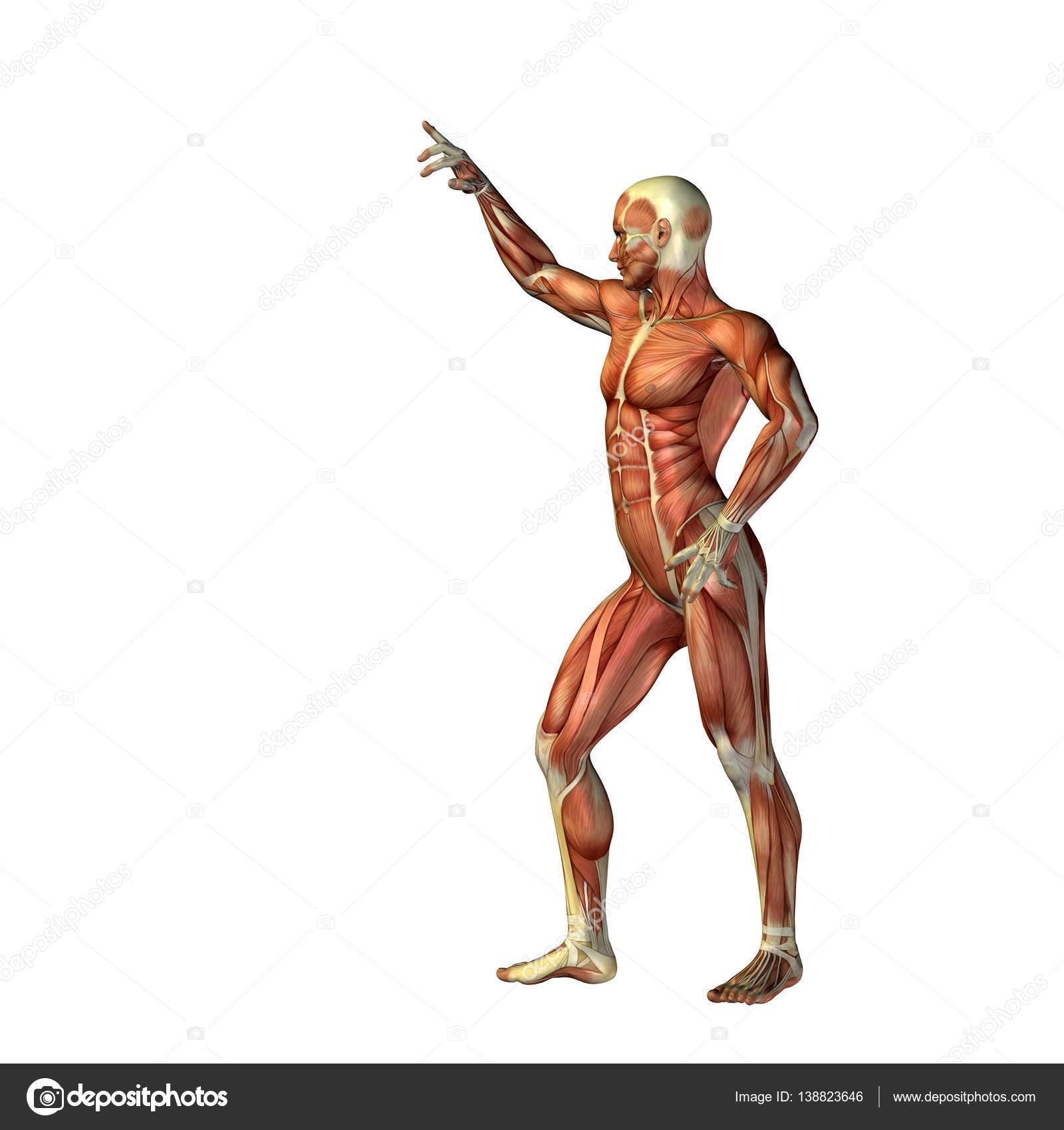 illustratie van menselijk lichaam anatomie — Stockfoto © design36 ...