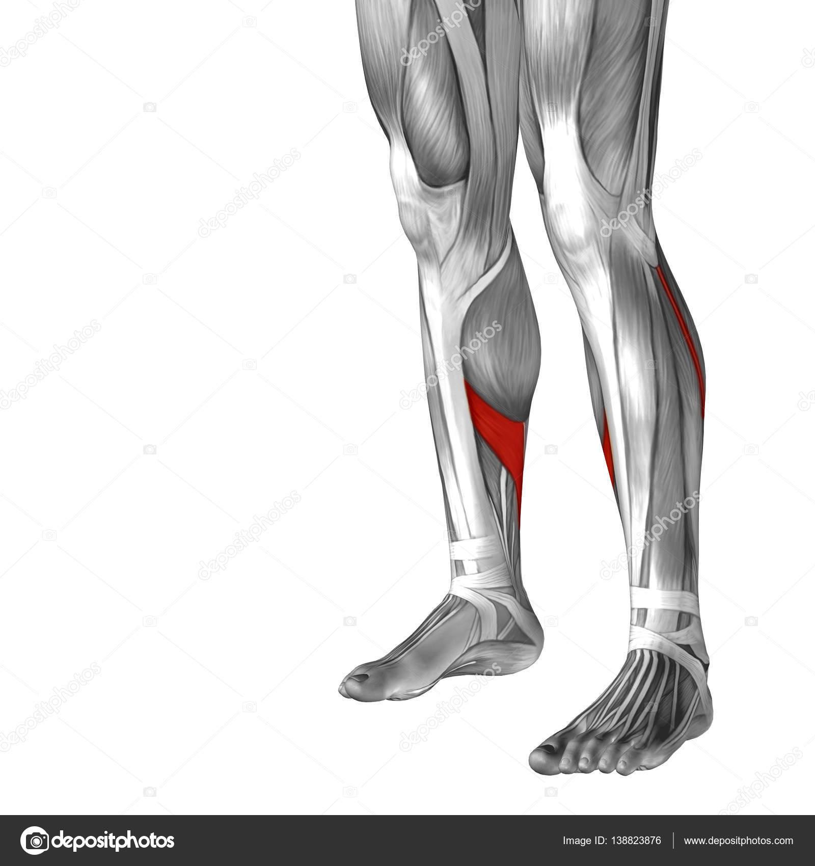 Human Lower Leg Anatomy Stock Photo Design36 138823876