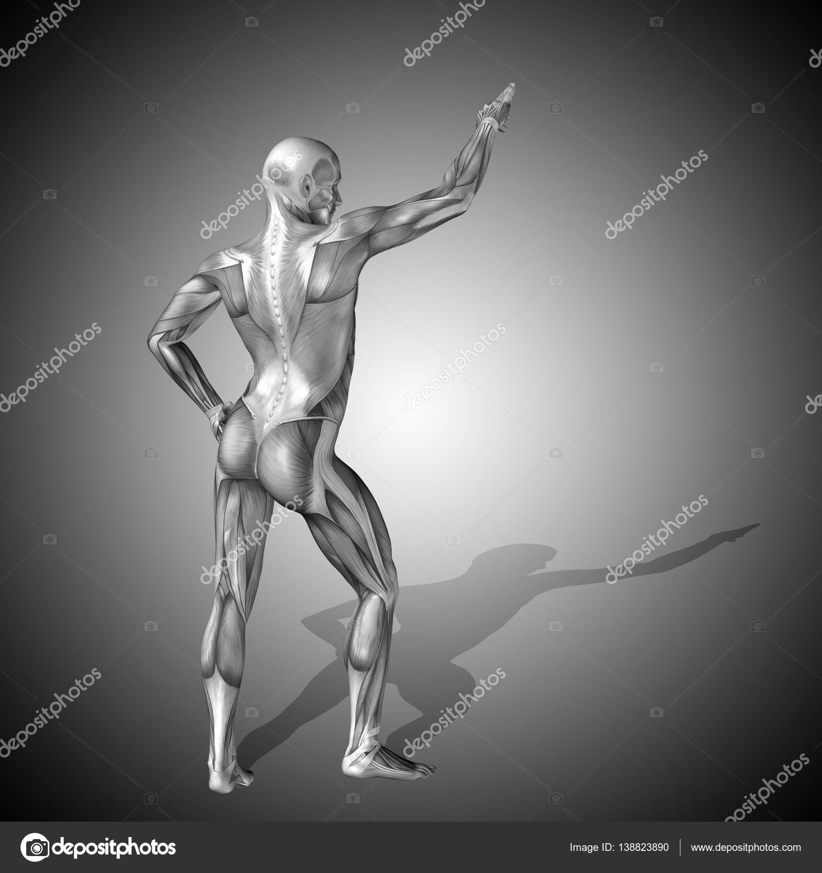 Anatomía del cuerpo humano con los músculos — Foto de stock ...