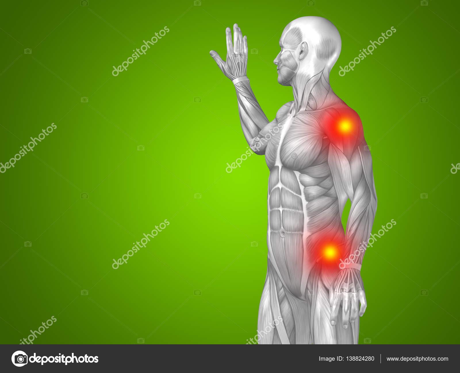 Anatomía de la parte superior del cuerpo humano — Foto de stock ...