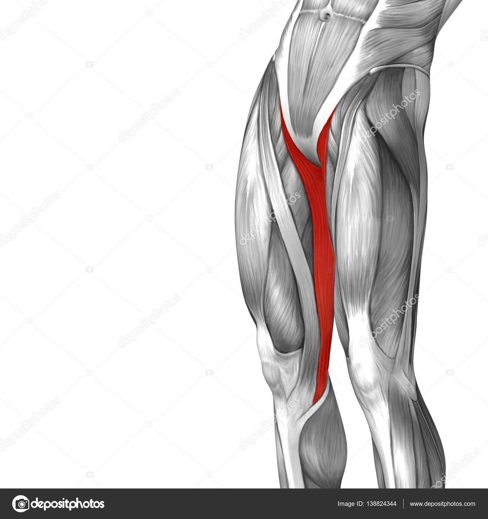 anatomía humana de la pierna superior — Fotos de Stock © design36 ...