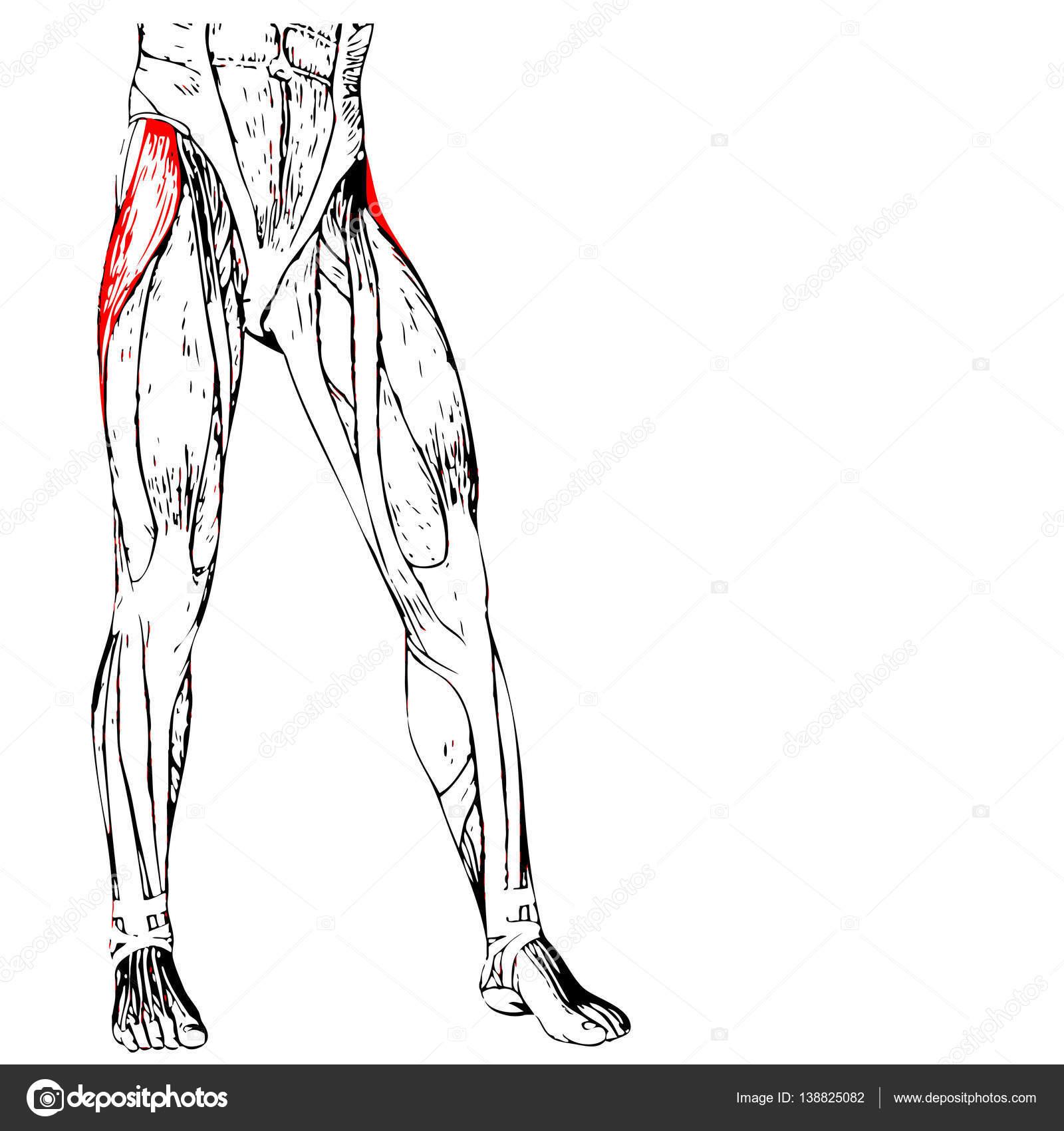 menschliche Oberschenkel-Anatomie — Stockfoto © design36 #138825082