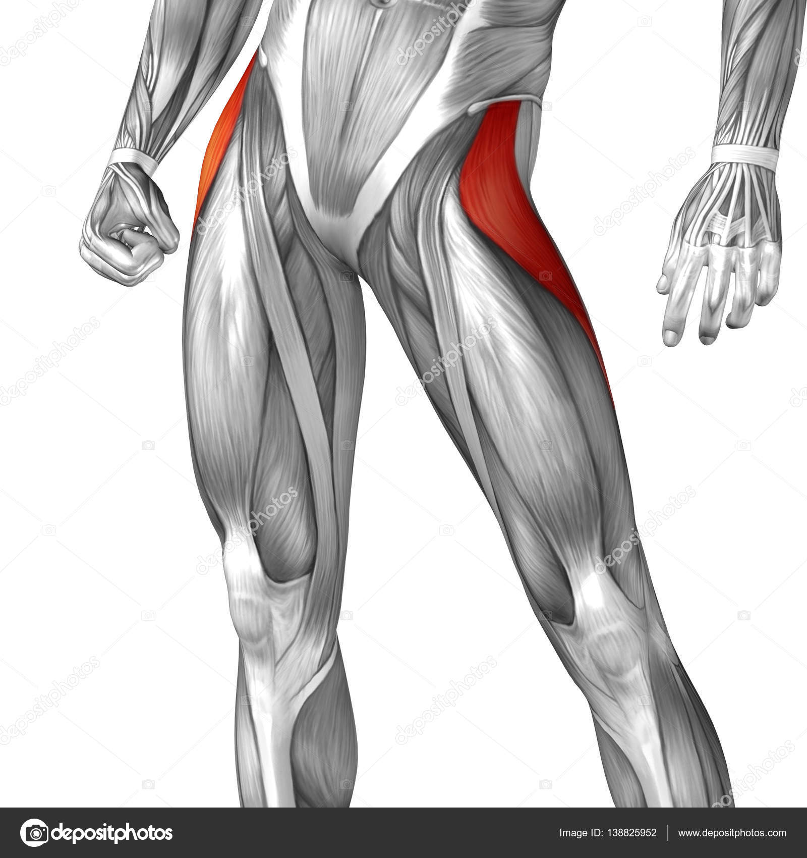 Human Upper Leg Anatomy Stock Photo Design36 138825952
