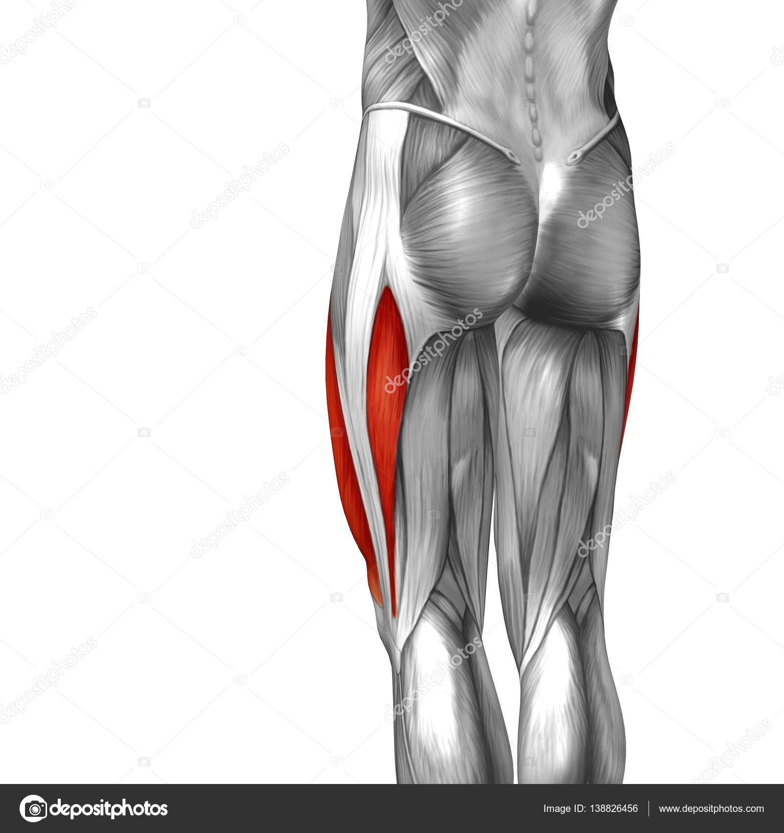 menschliche Oberschenkel-Anatomie — Stockfoto © design36 #138826456