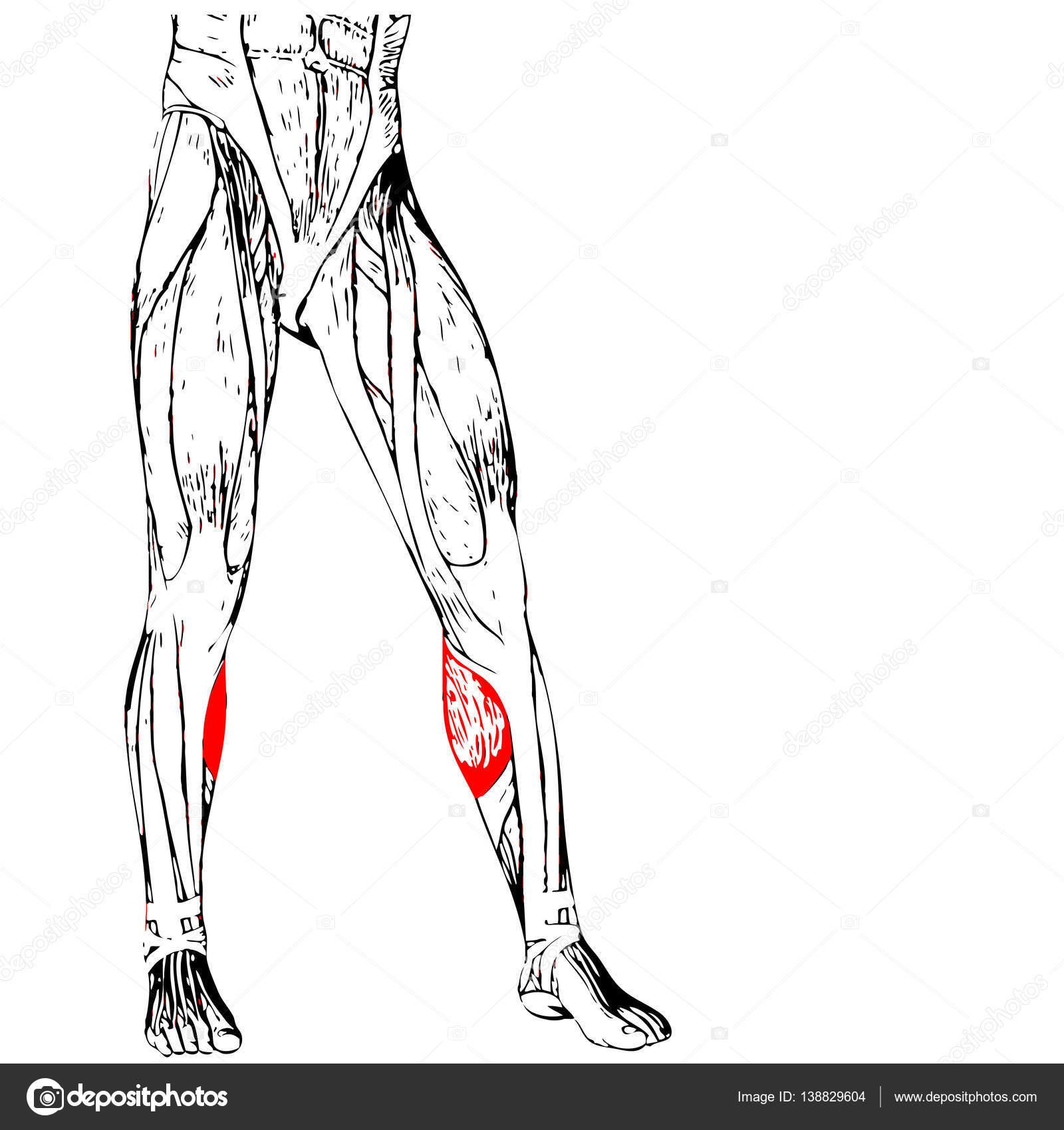 untere Bein Anatomie — Stockfoto © design36 #138829604