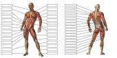 Illustration der Anatomie des menschlichen Körpers