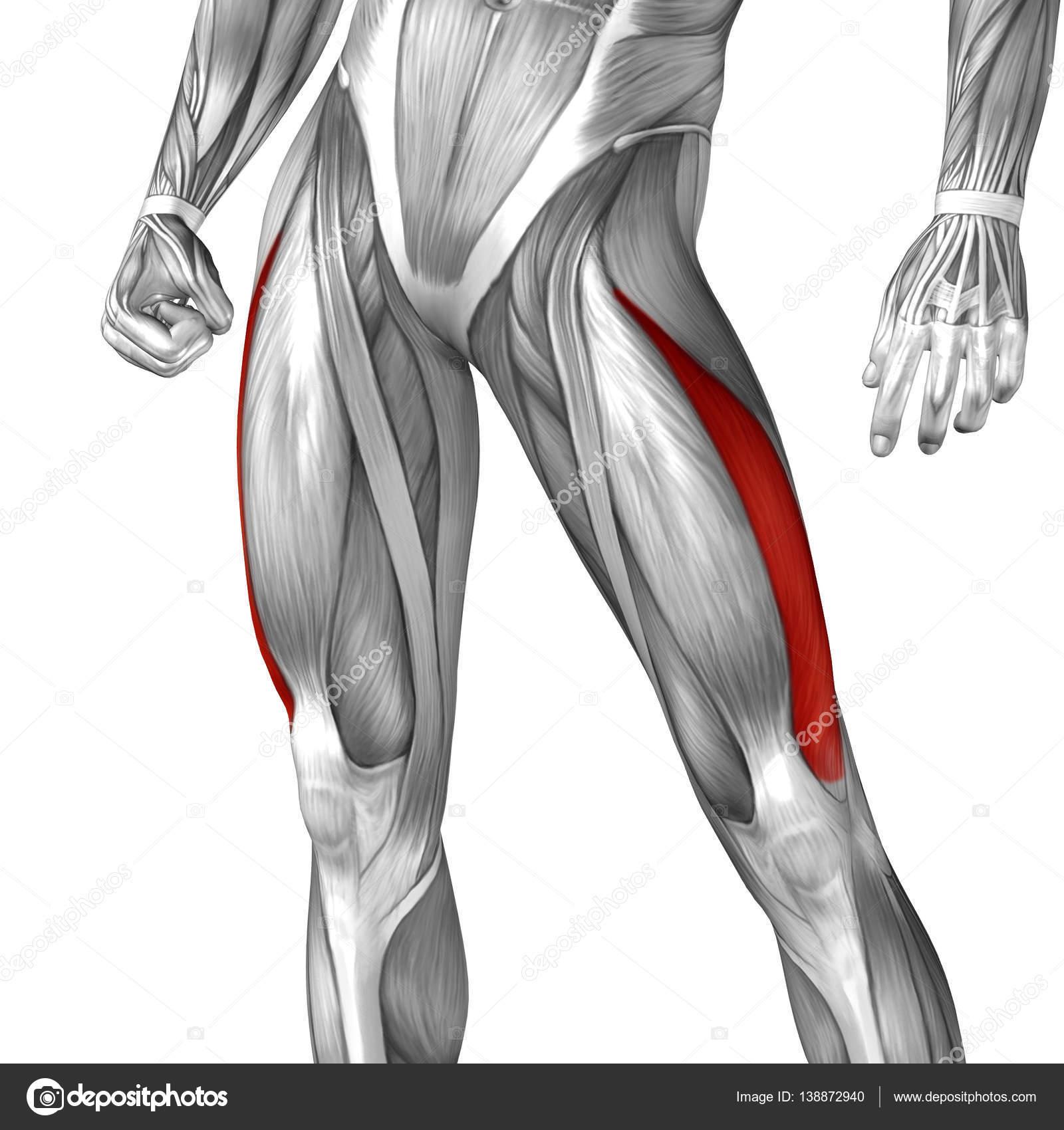 menschliche Oberschenkel-Anatomie — Stockfoto © design36 #138872940