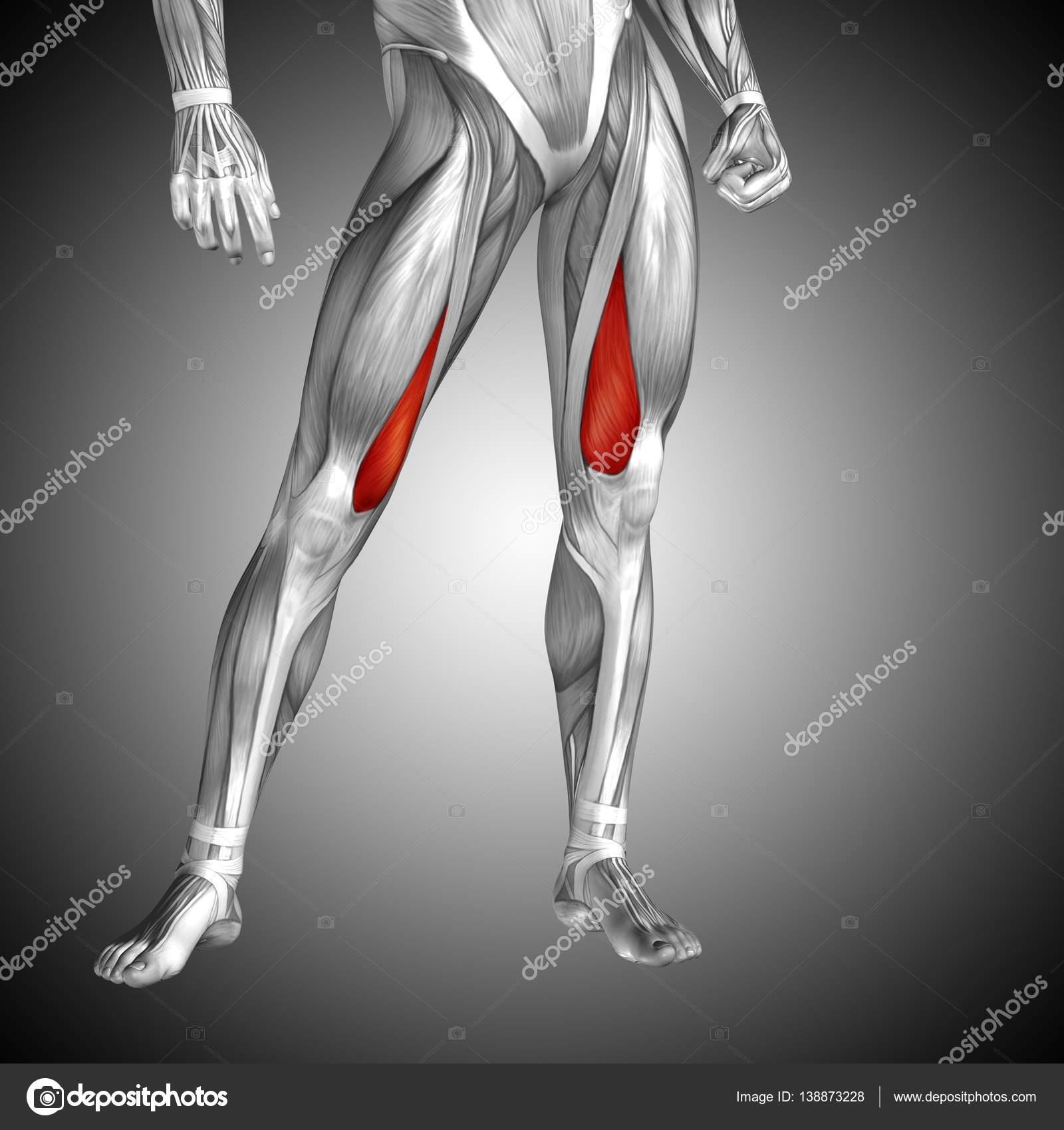 human upper leg anatomy — Stock Photo © design36 #138873228