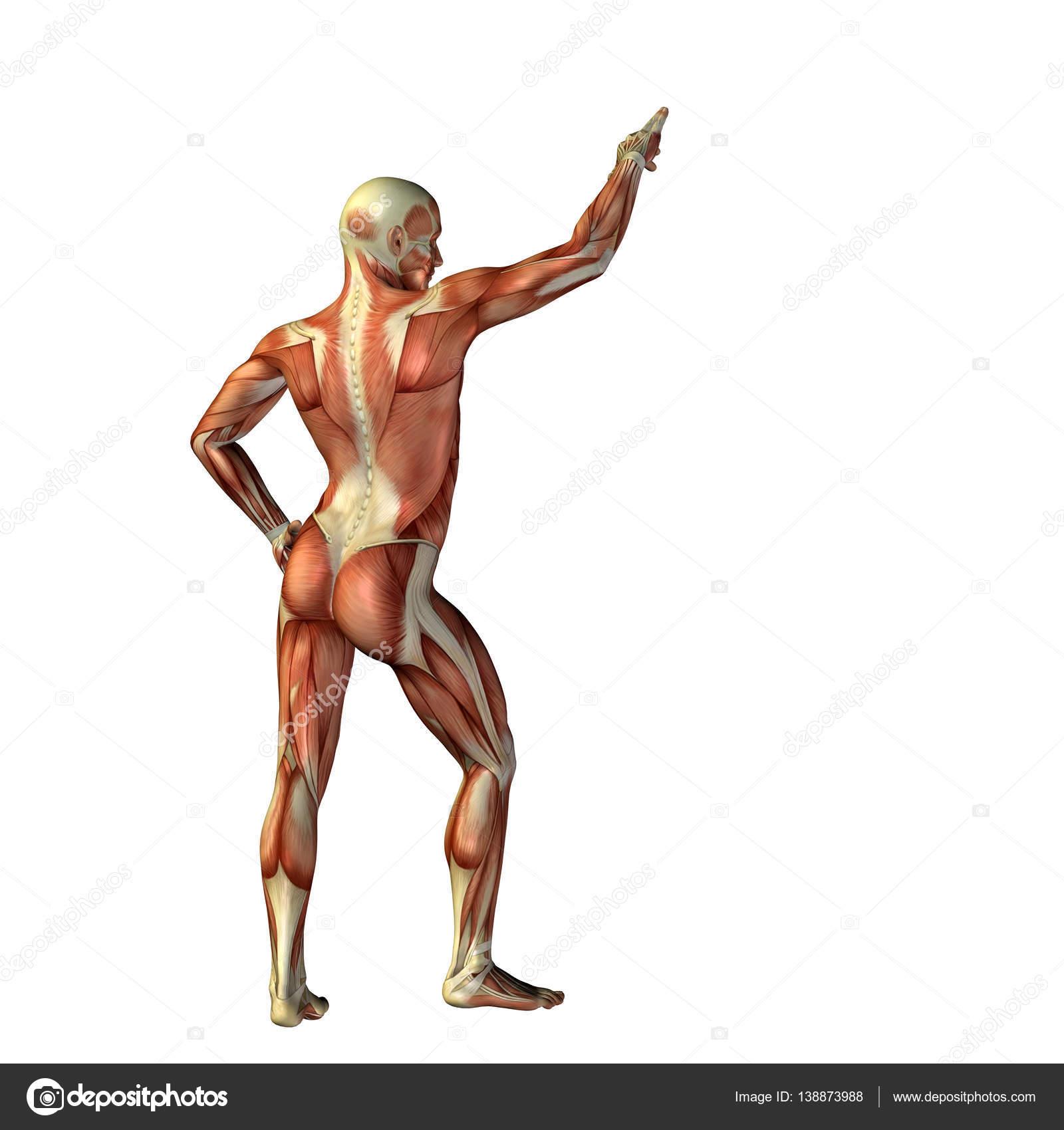 人体解剖学のイラスト — ストック写真 © design36 #138873988