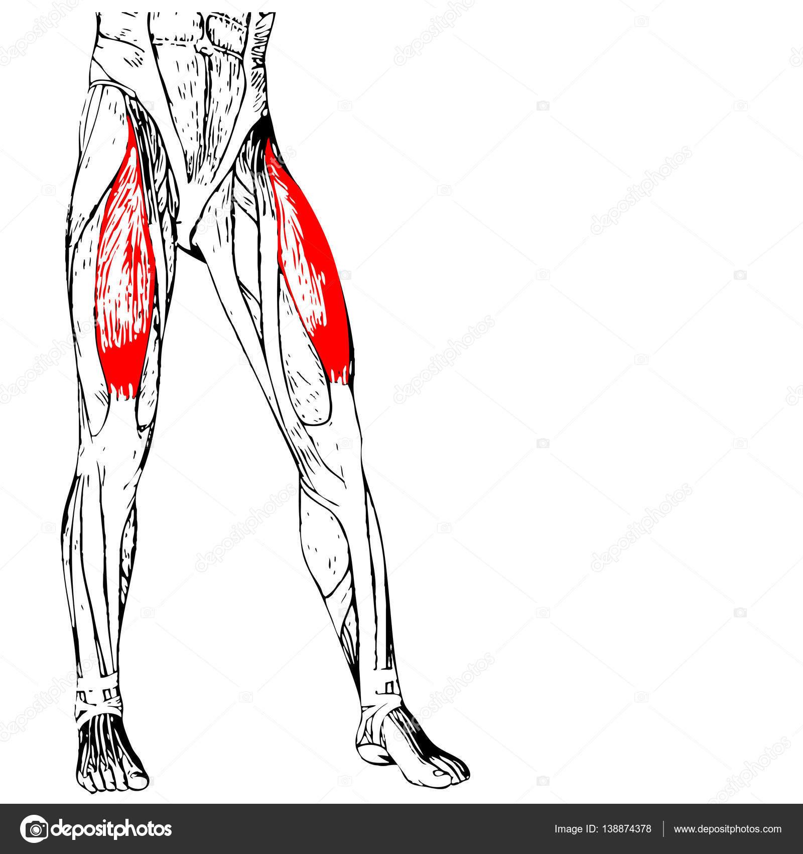 menschliche Oberschenkel-Anatomie — Stockfoto © design36 #138874378