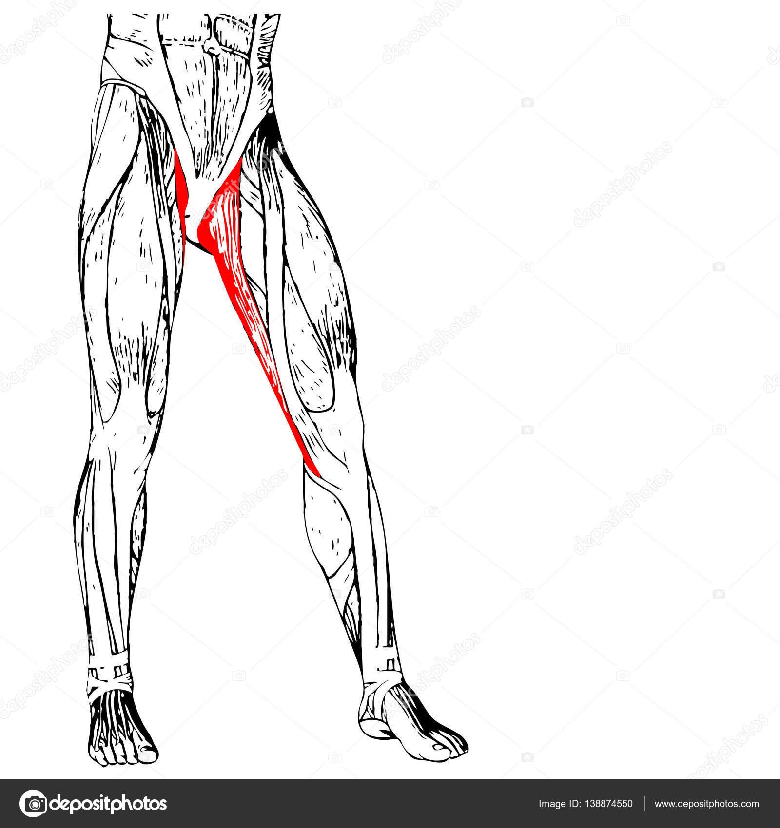 menschliche Oberschenkel-Anatomie — Stockfoto © design36 #138874550