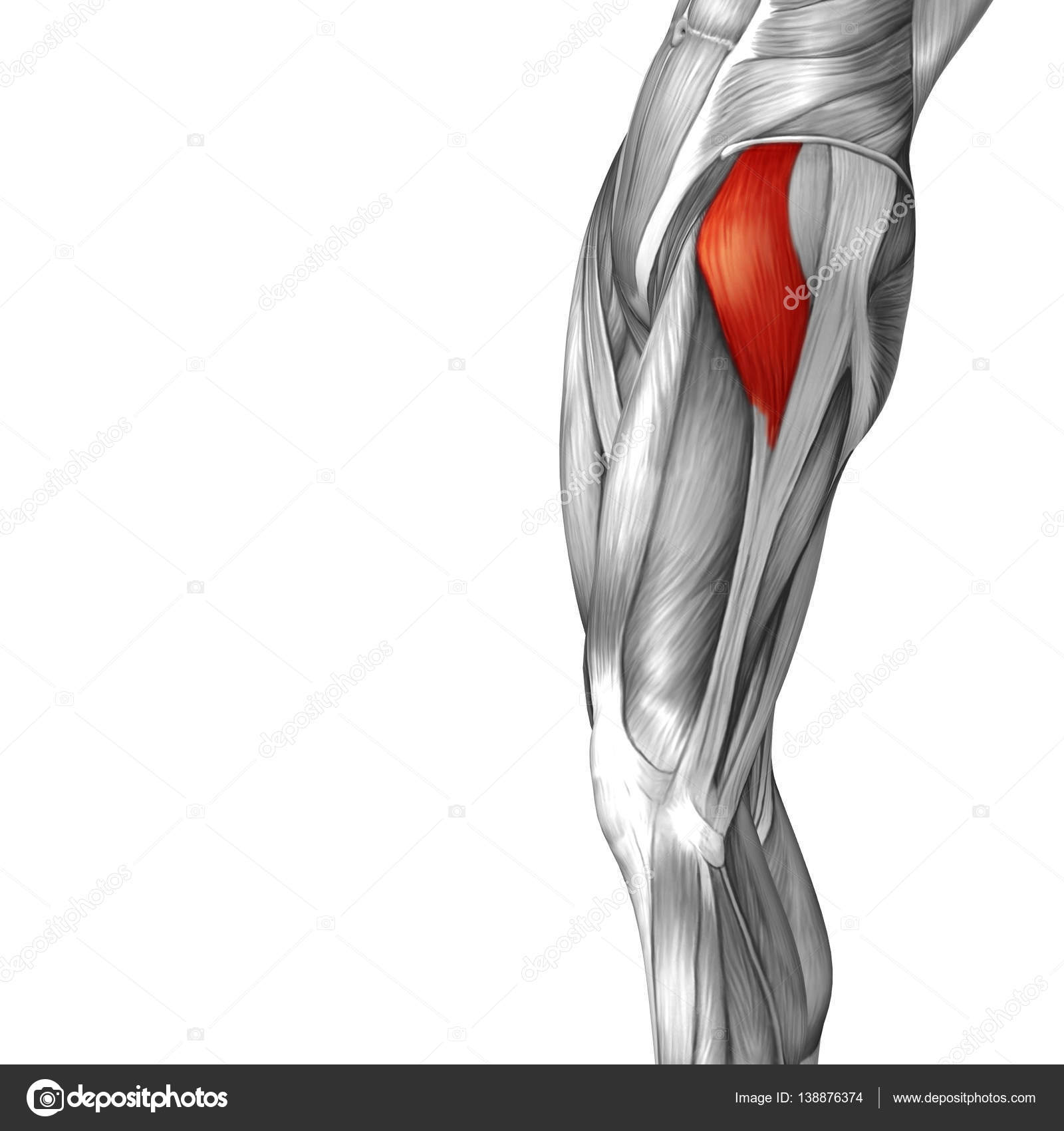 human upper leg anatomy — Stock Photo © design36 #138876374