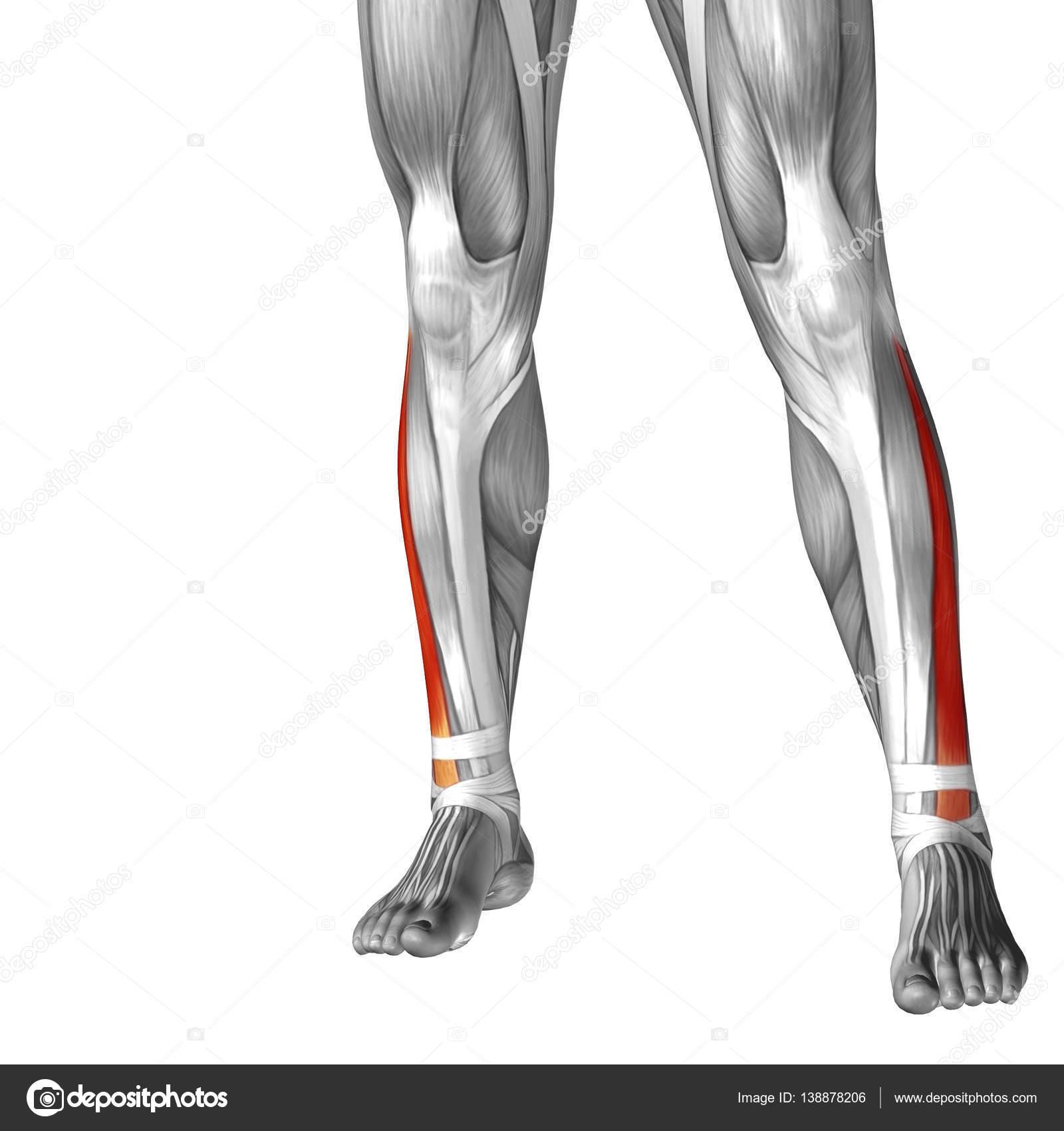 Anatomía de la pierna inferior — Foto de stock © design36 #138878206