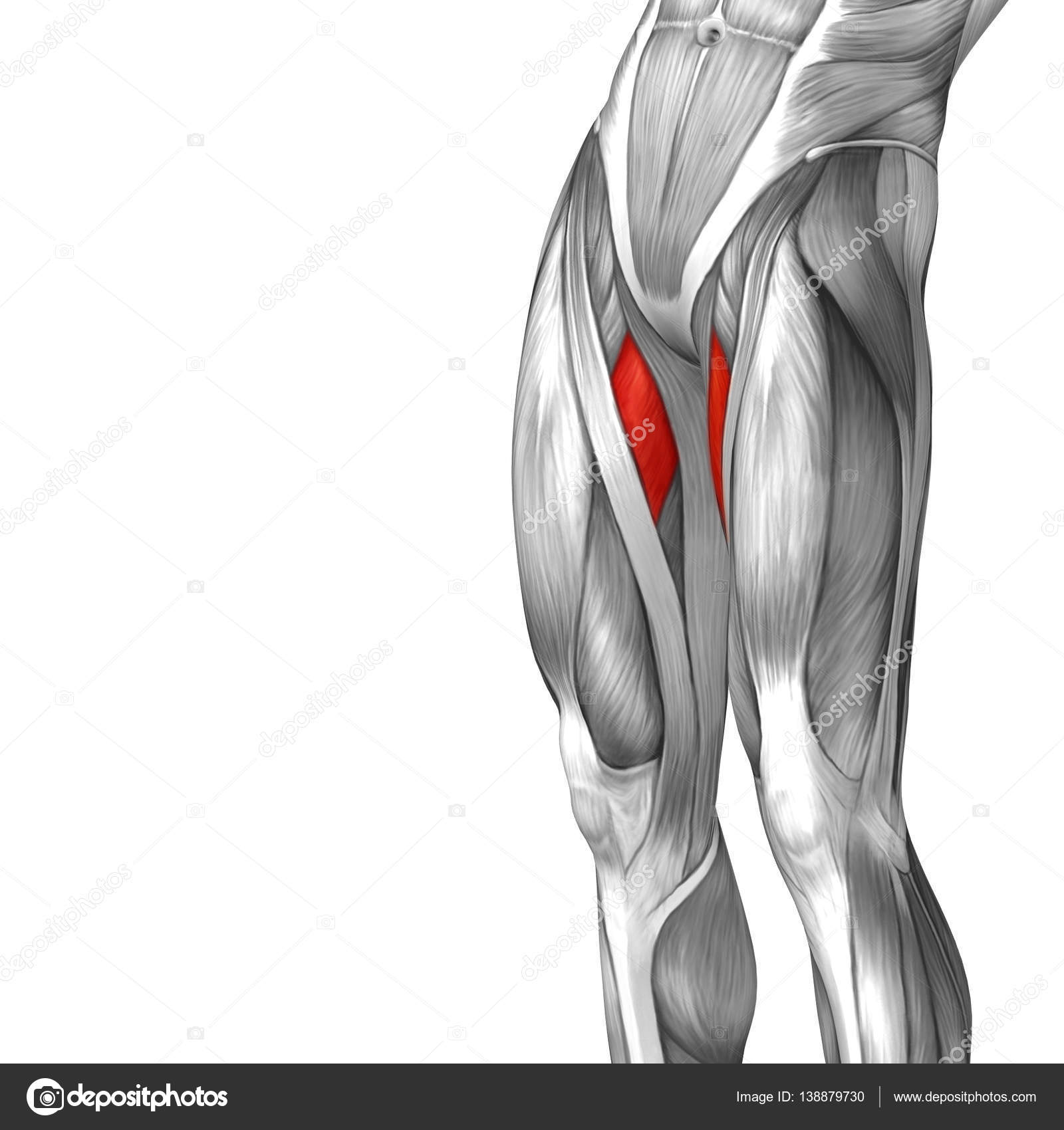 human upper leg anatomy — Stock Photo © design36 #138879730