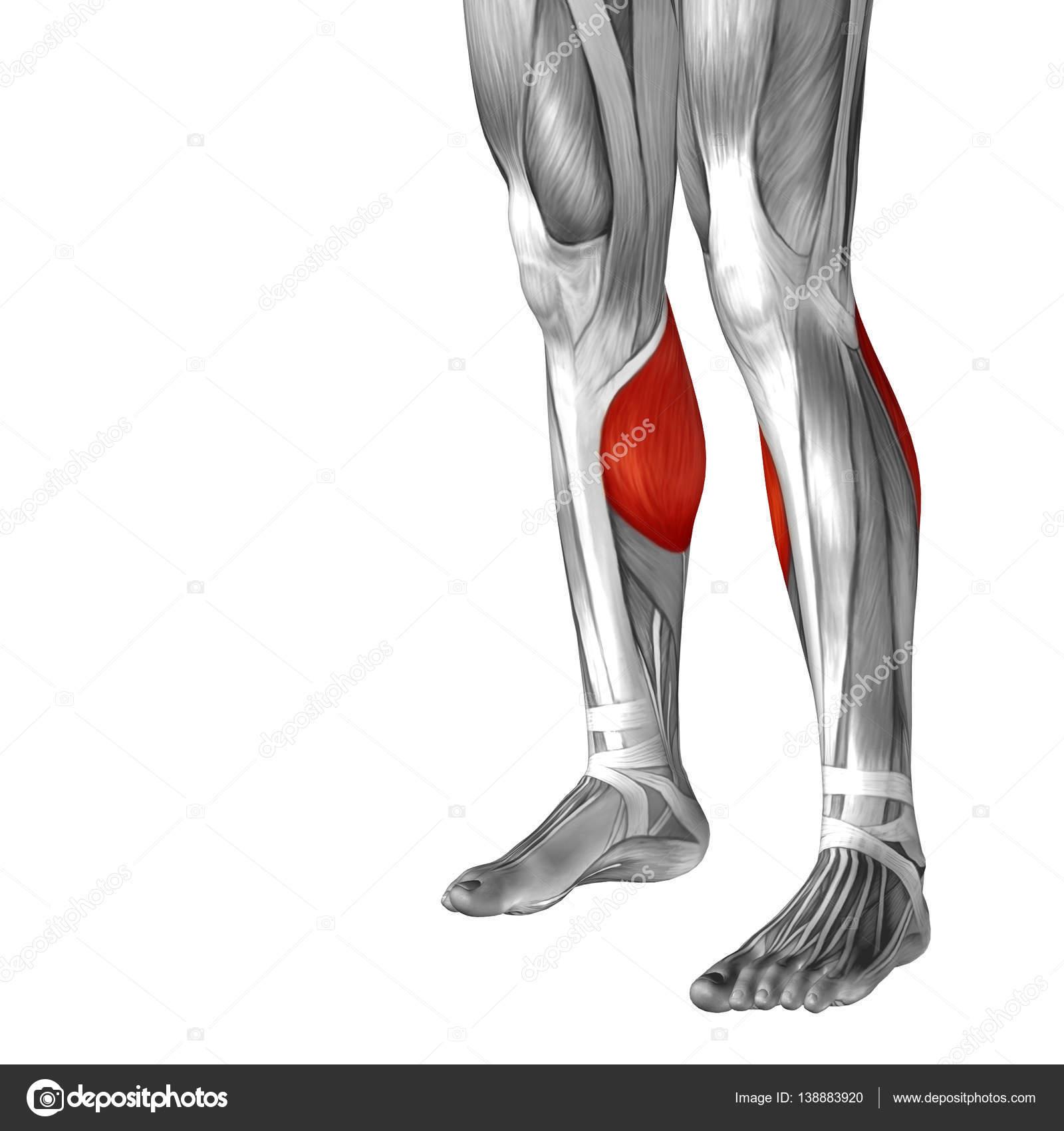 Human Lower Leg Anatomy Stock Photo Design36 138883920