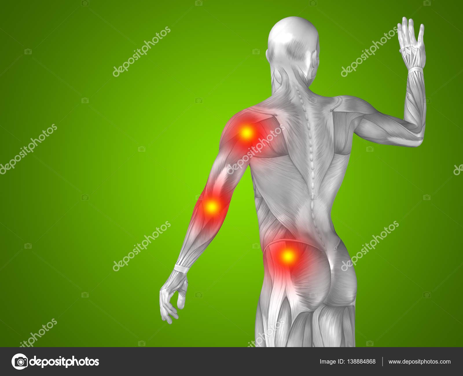 Anatomía de la parte superior del cuerpo humano — Fotos de Stock ...
