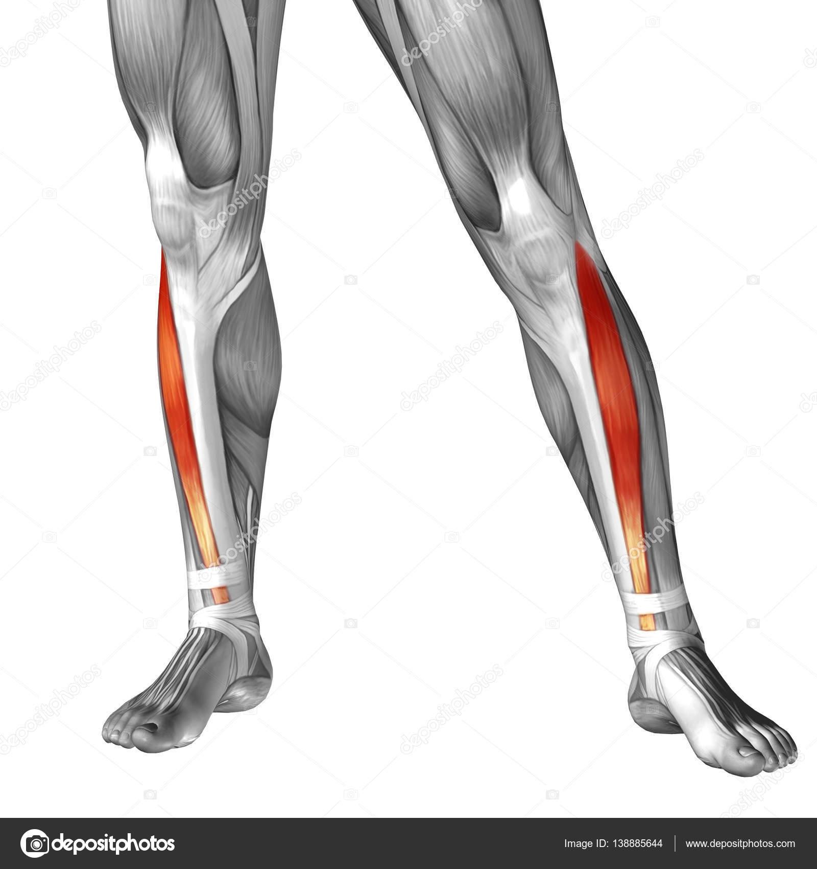 human lower leg anatomy — Stock Photo © design36 #138885644