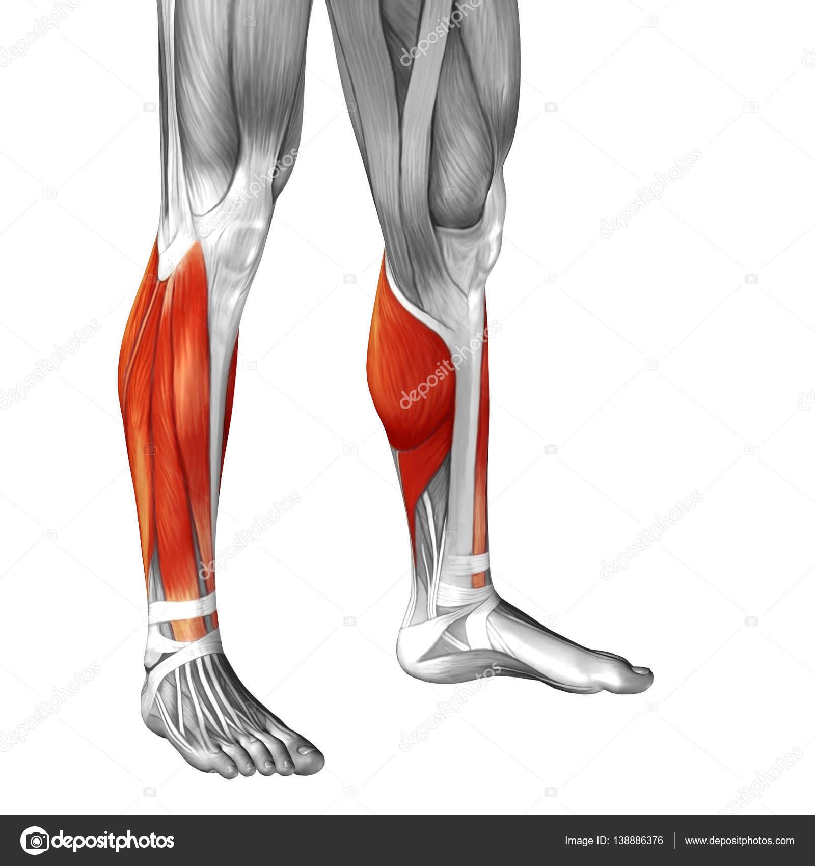 human lower leg anatomy — Stock Photo © design36 #138886376