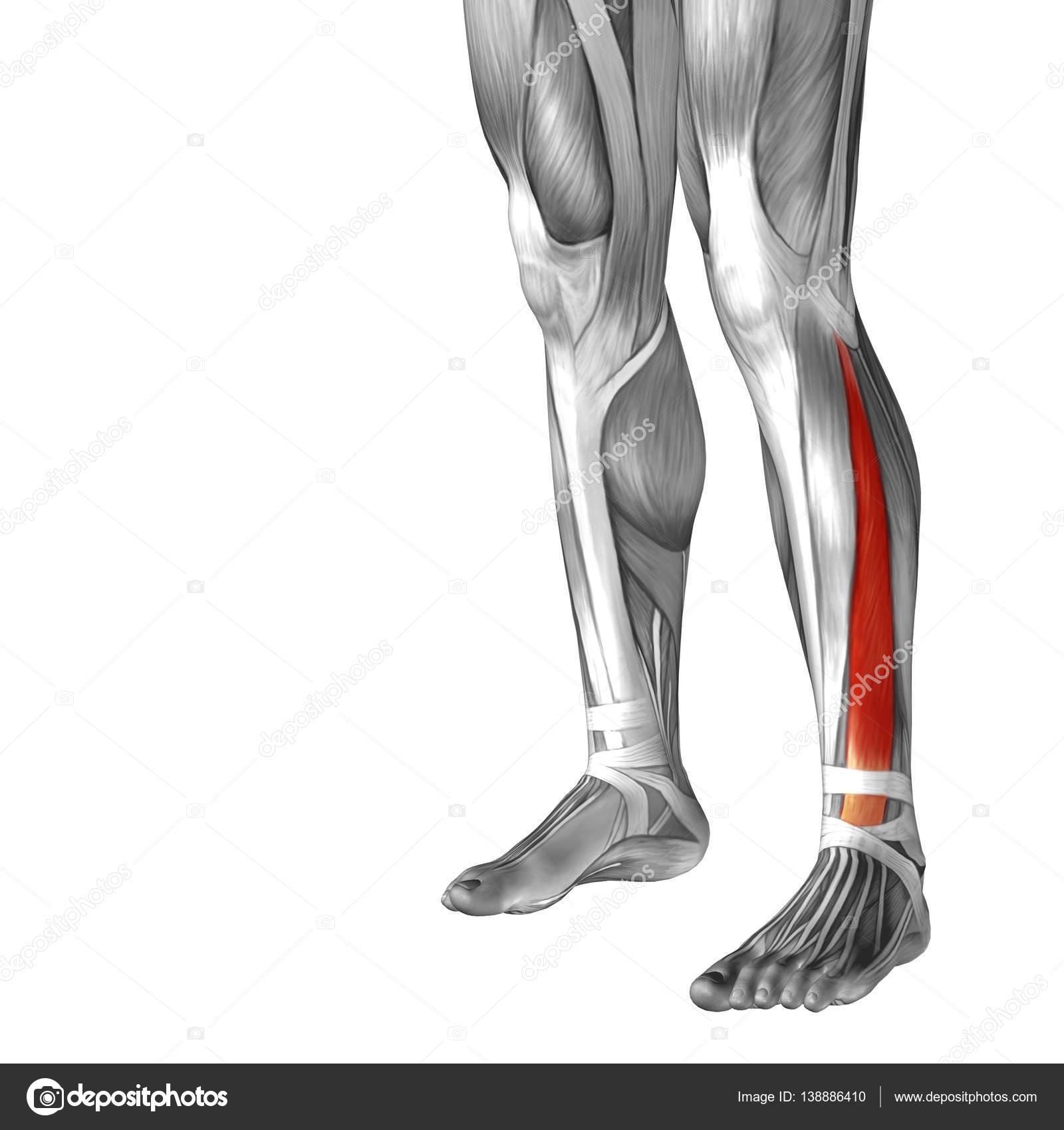Anatomía de la pierna inferior — Fotos de Stock © design36 #138886410