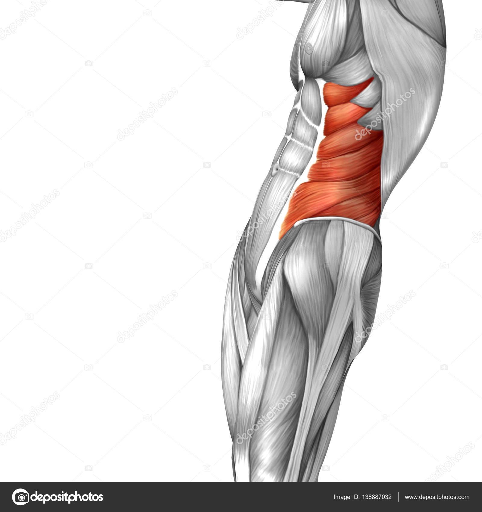 Abbildung der menschlichen Anatomie — Stockfoto © design36 #138887032